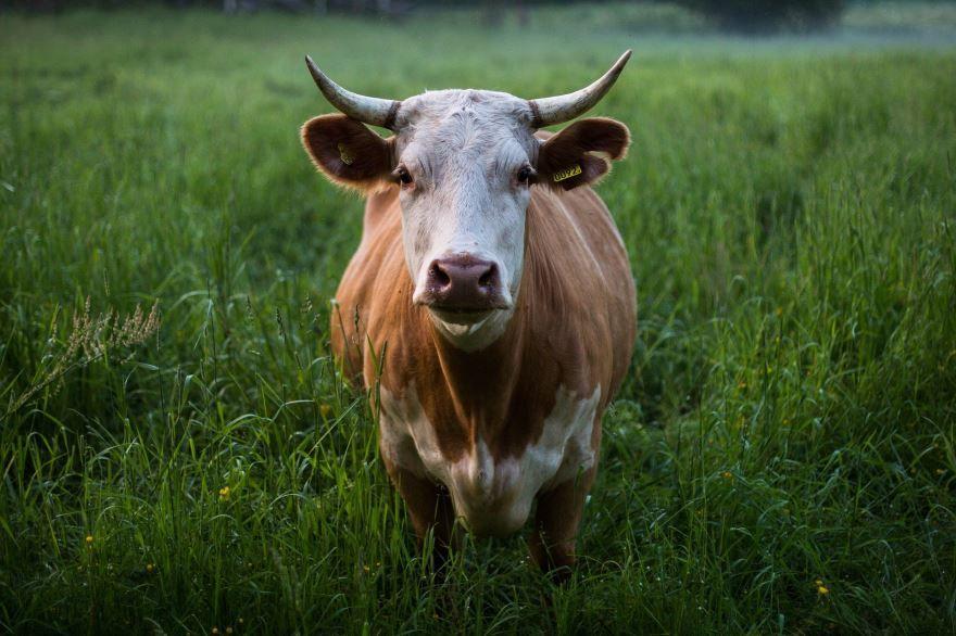 Скачать фото коровы бесплатно