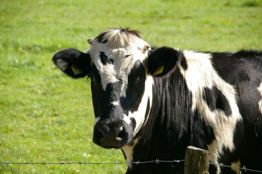 Фото и картинки коровы для детей