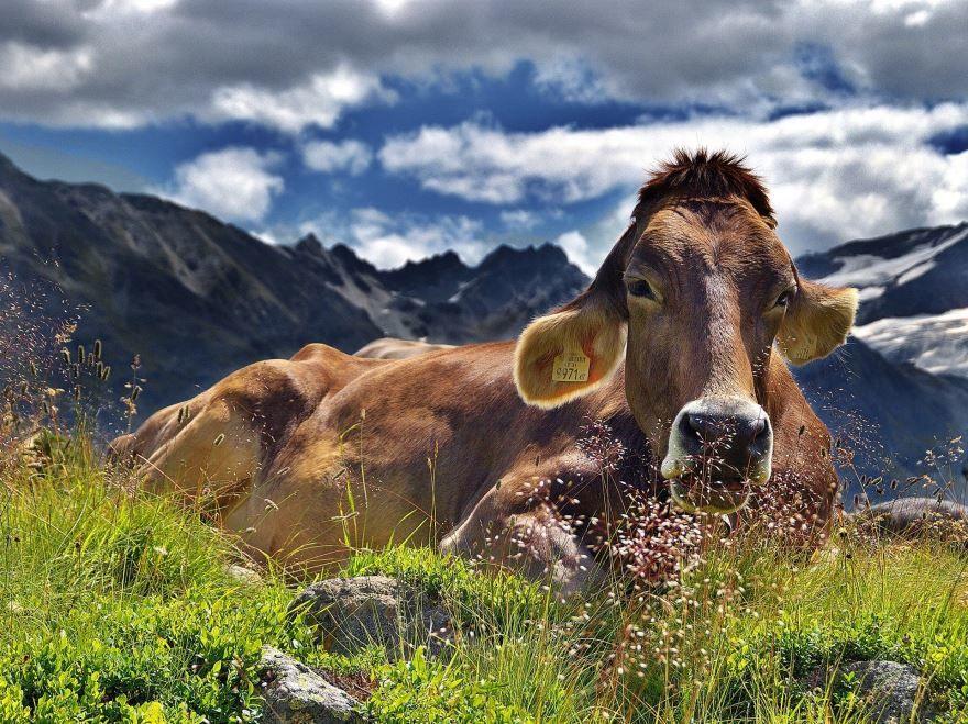 Купить фото коровы? Не нужно, можно ведь скачать бесплатно у нас.