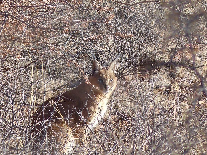 Рысь каракал – смотреть фото