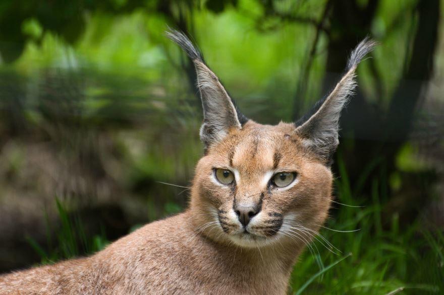 Фото большой кошки - каракала