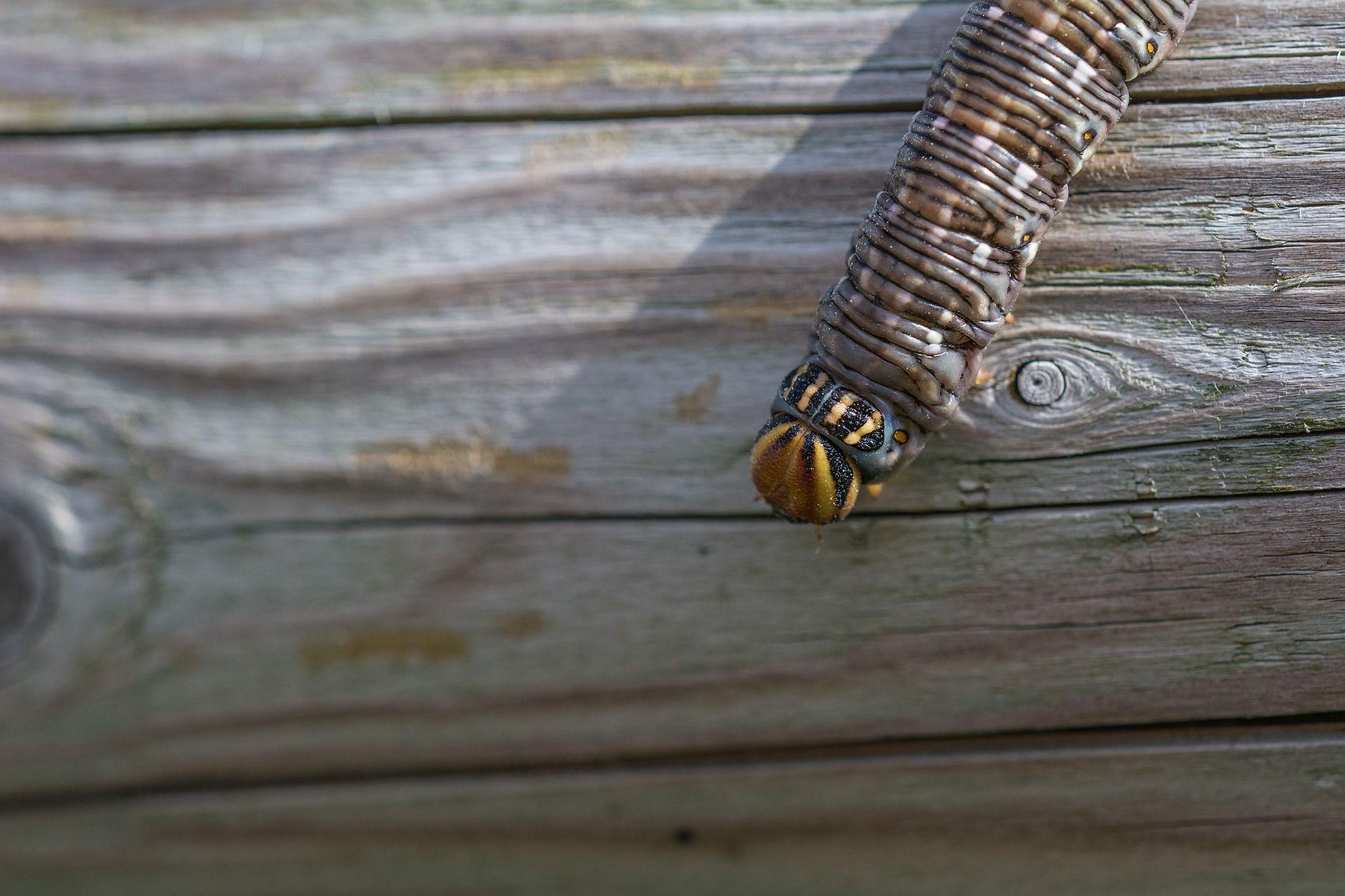 Бесплатные фото гусеницы бражника