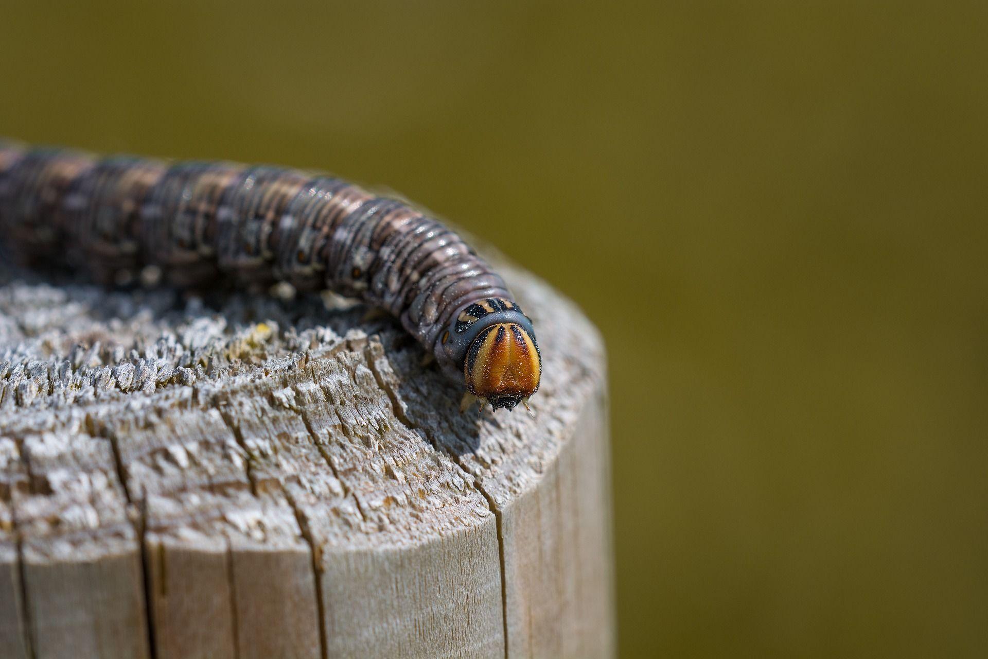 Фото гусеницы бражника