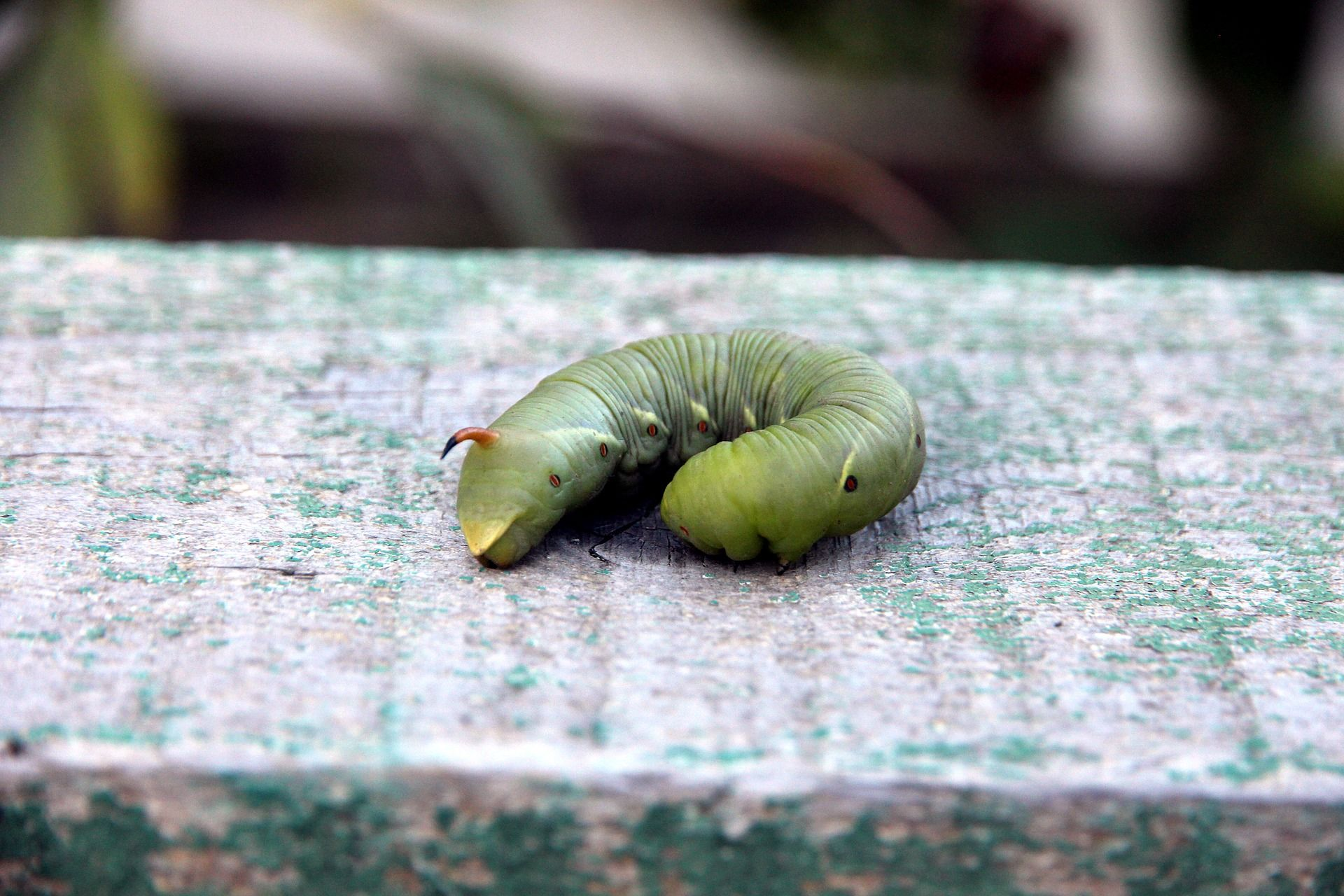 Зеленая гусеница бражника