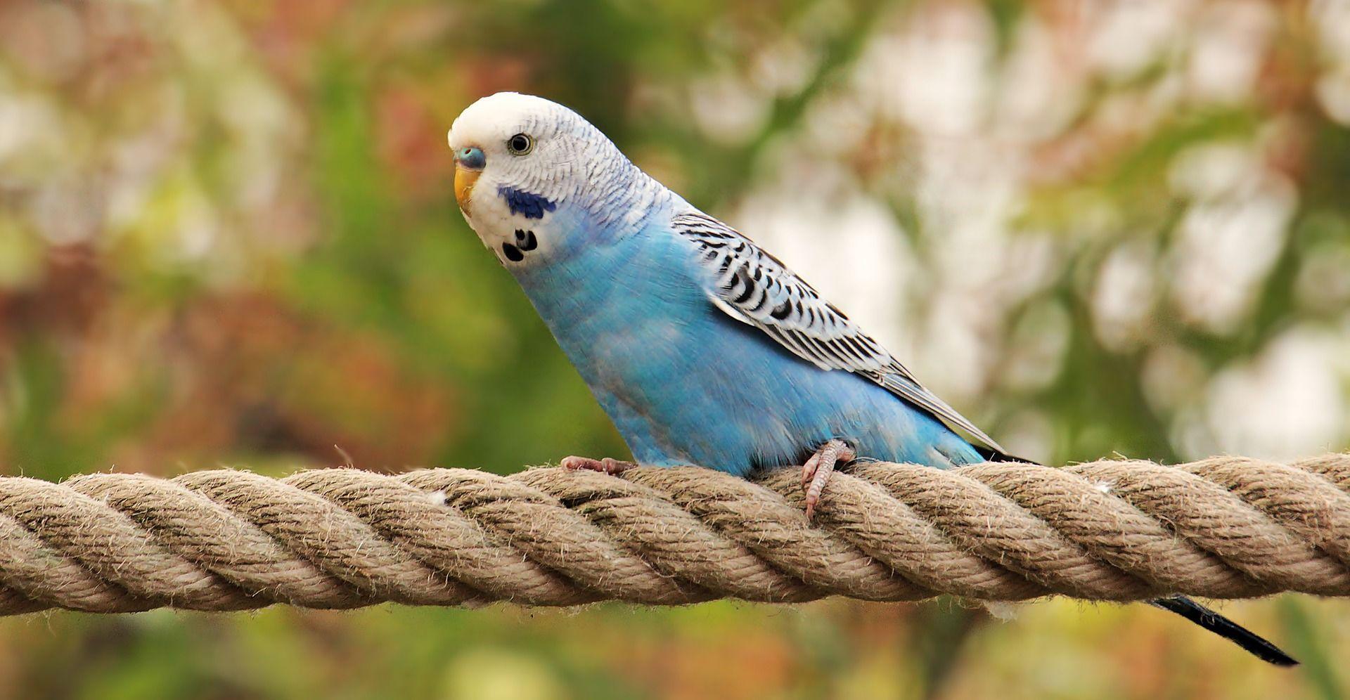 Фото голубого волнистого попугайчика