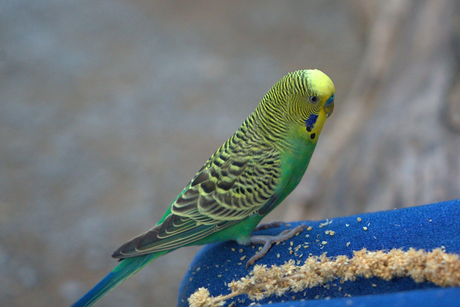 Смотреть фото говорящего волнистого попугайчика