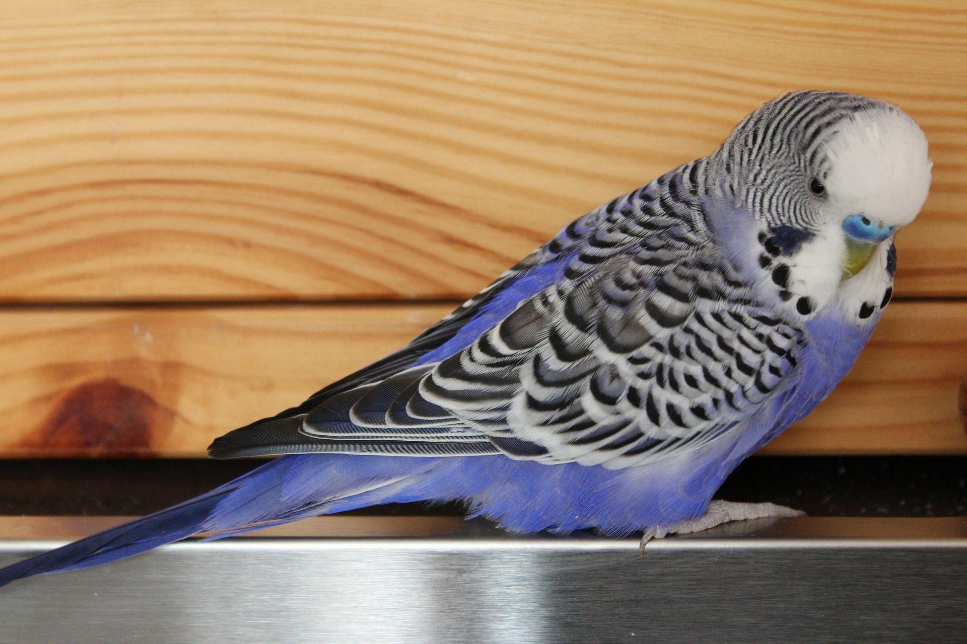 Скачать фото домашнего волнистого попугайчика