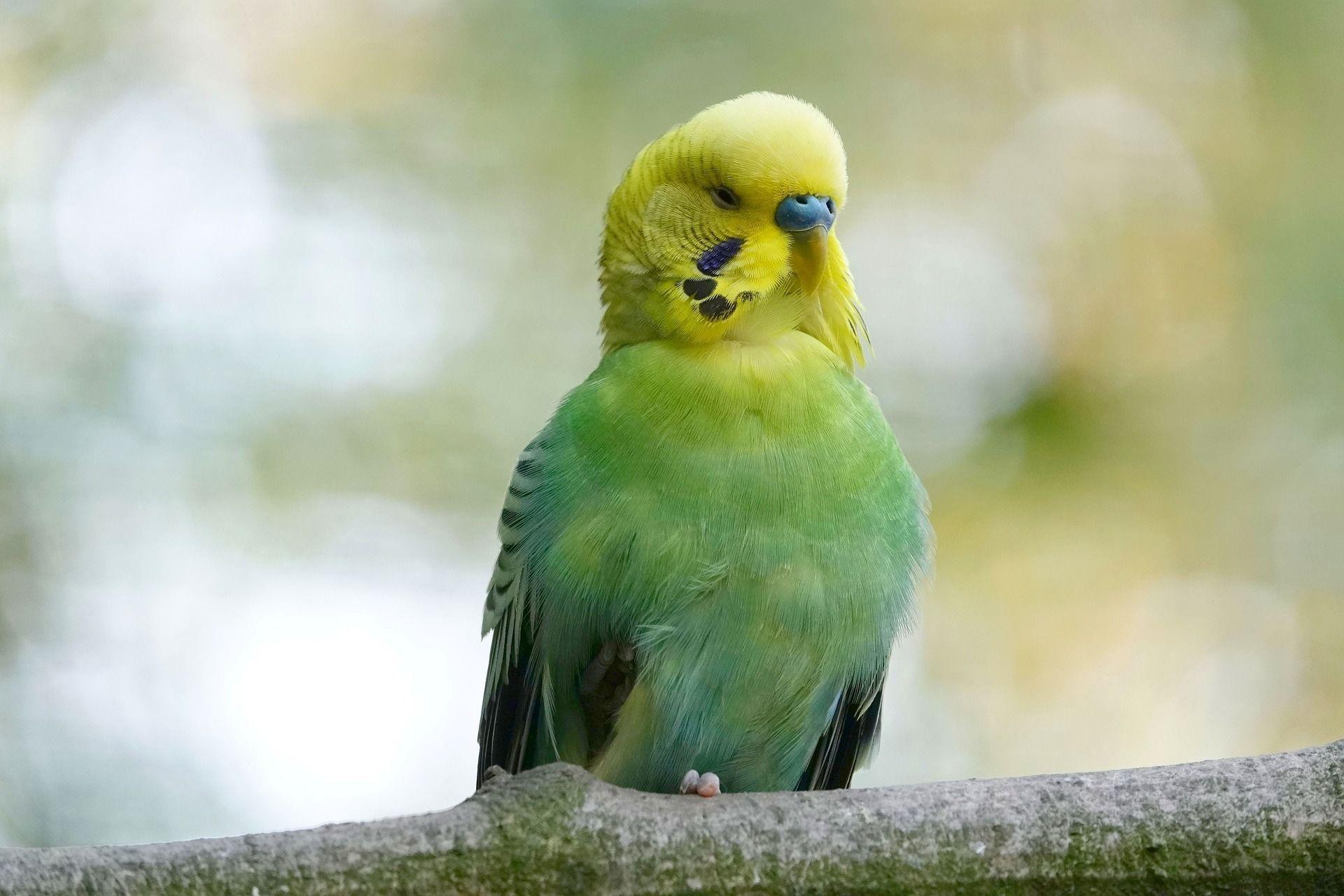 Фото волнистого попугайчика
