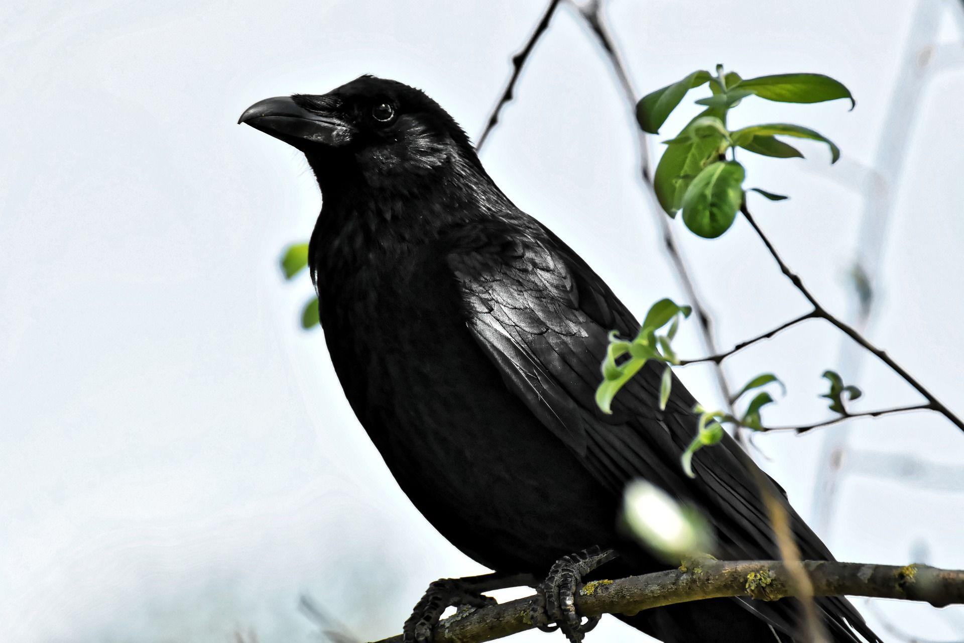Смотреть фотографии вороны