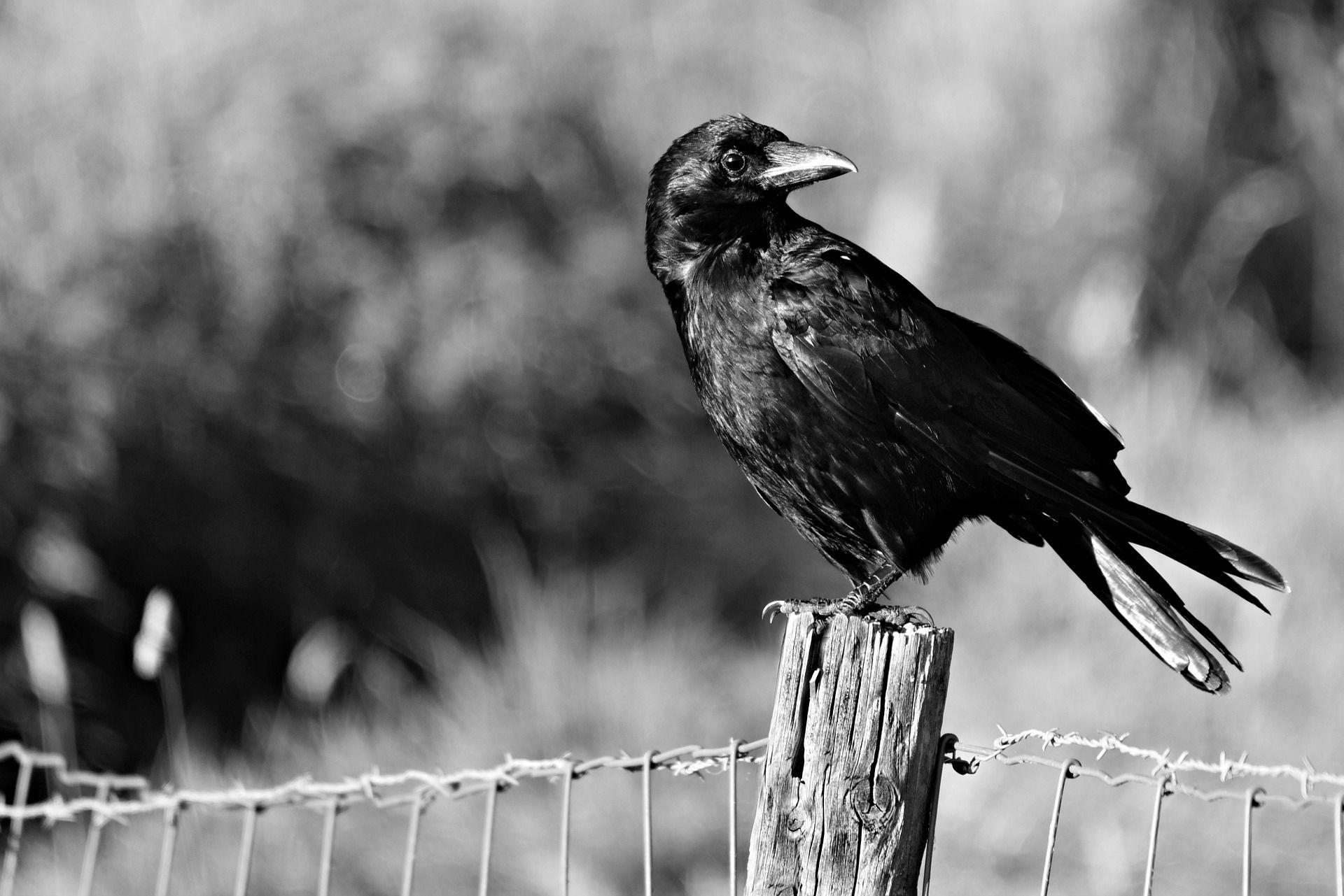 Черный ворон бесплатно в хорошем качестве