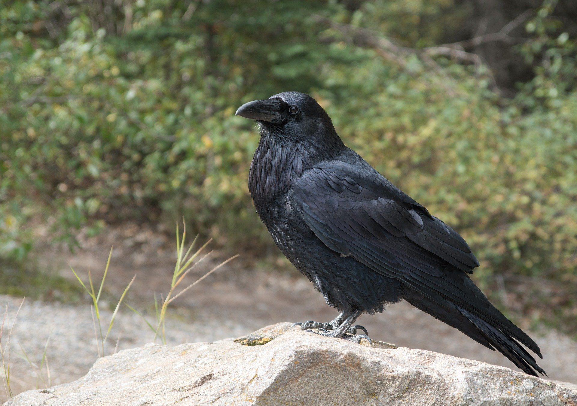 Скачать фото черной вороны
