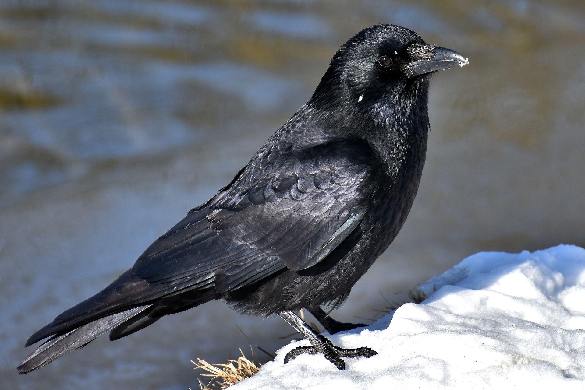 Фото черных ворон в хорошем качестве