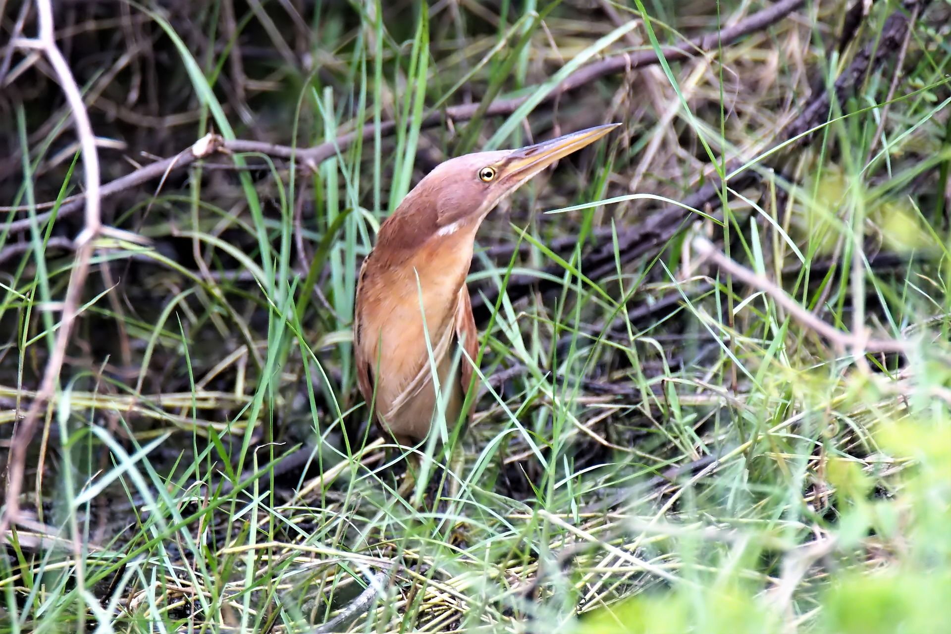 Фото птицы выпь