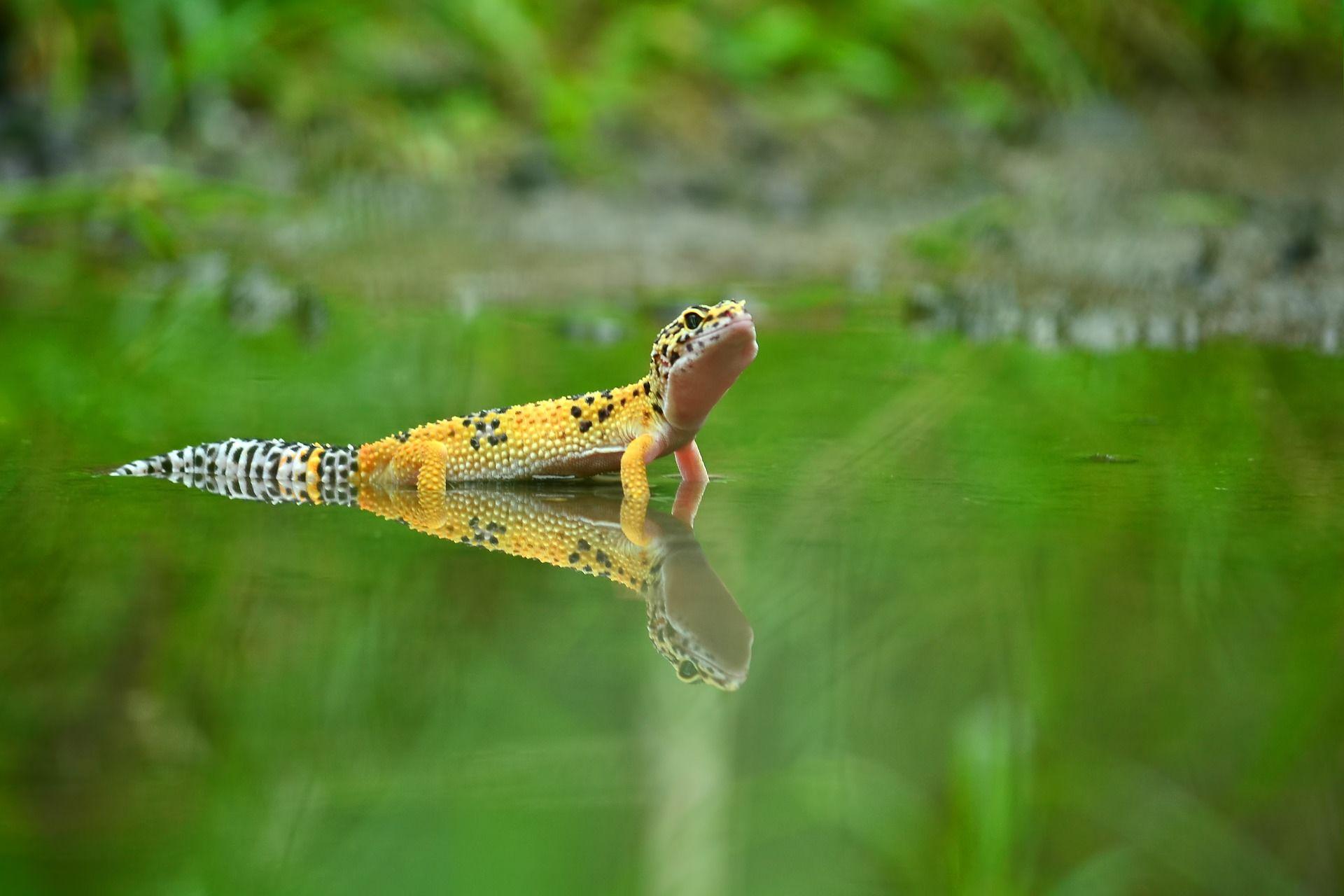 Скачать фото счастливого геккона