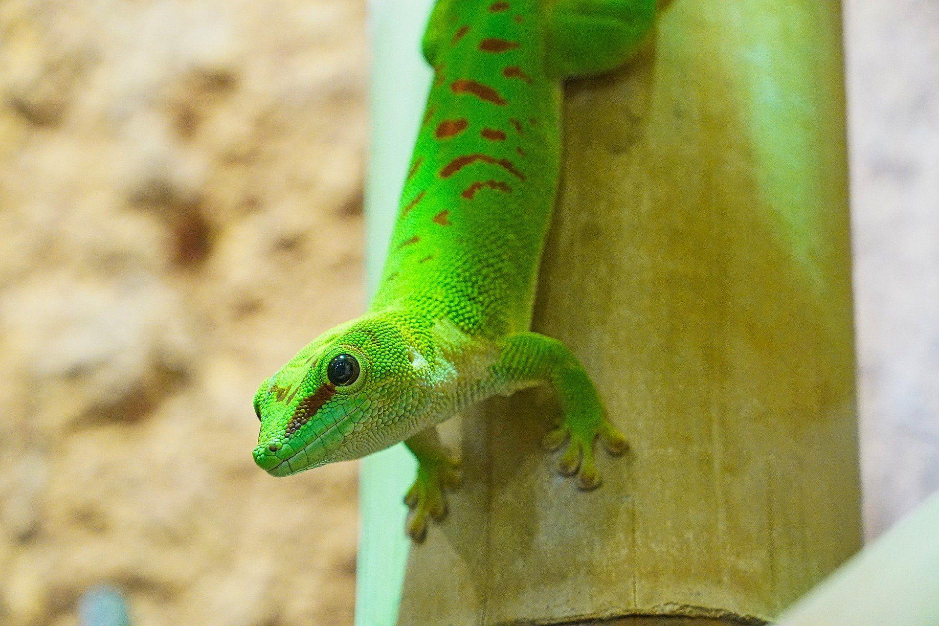 Фото геккона выращенного в домашних условиях