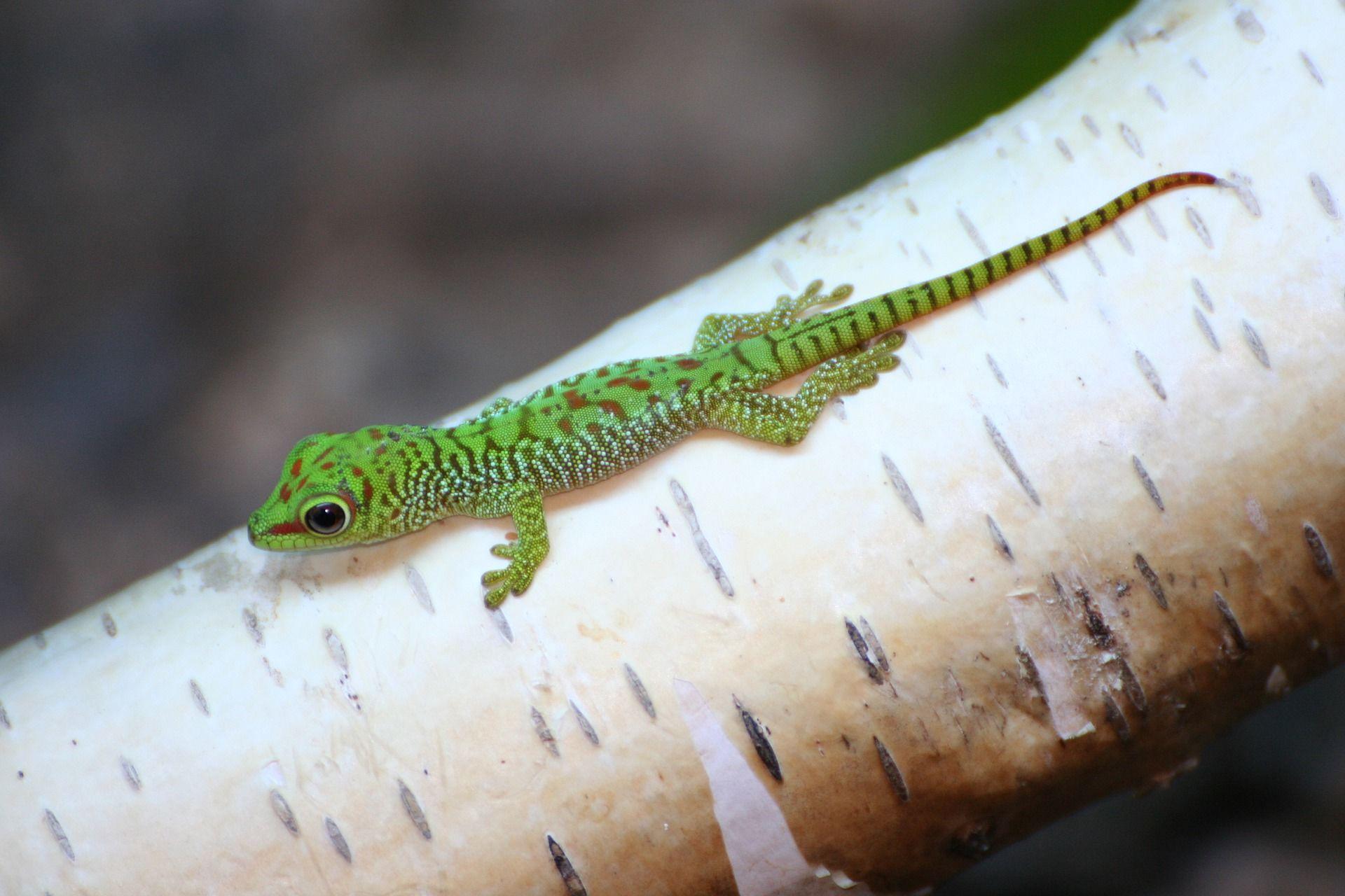 Фото ящерицы геккона