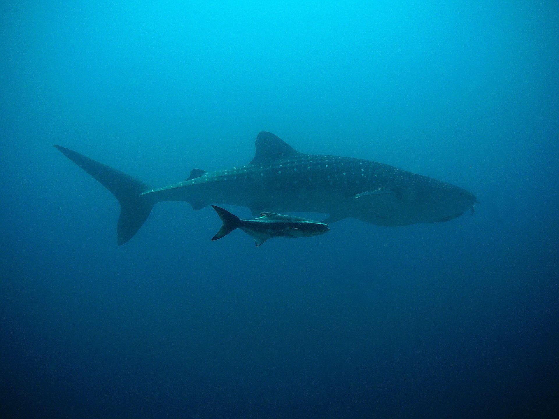 Фото гигантской акулы