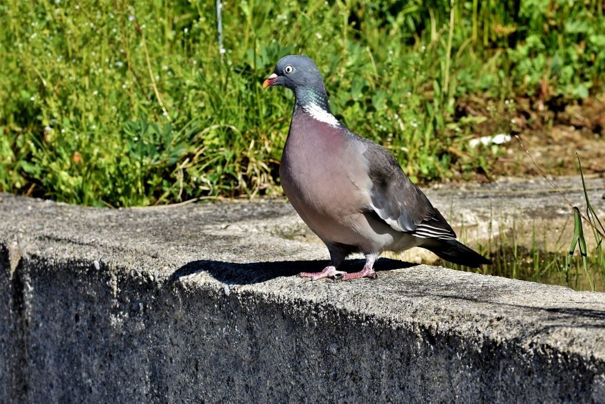Фото белого голубя