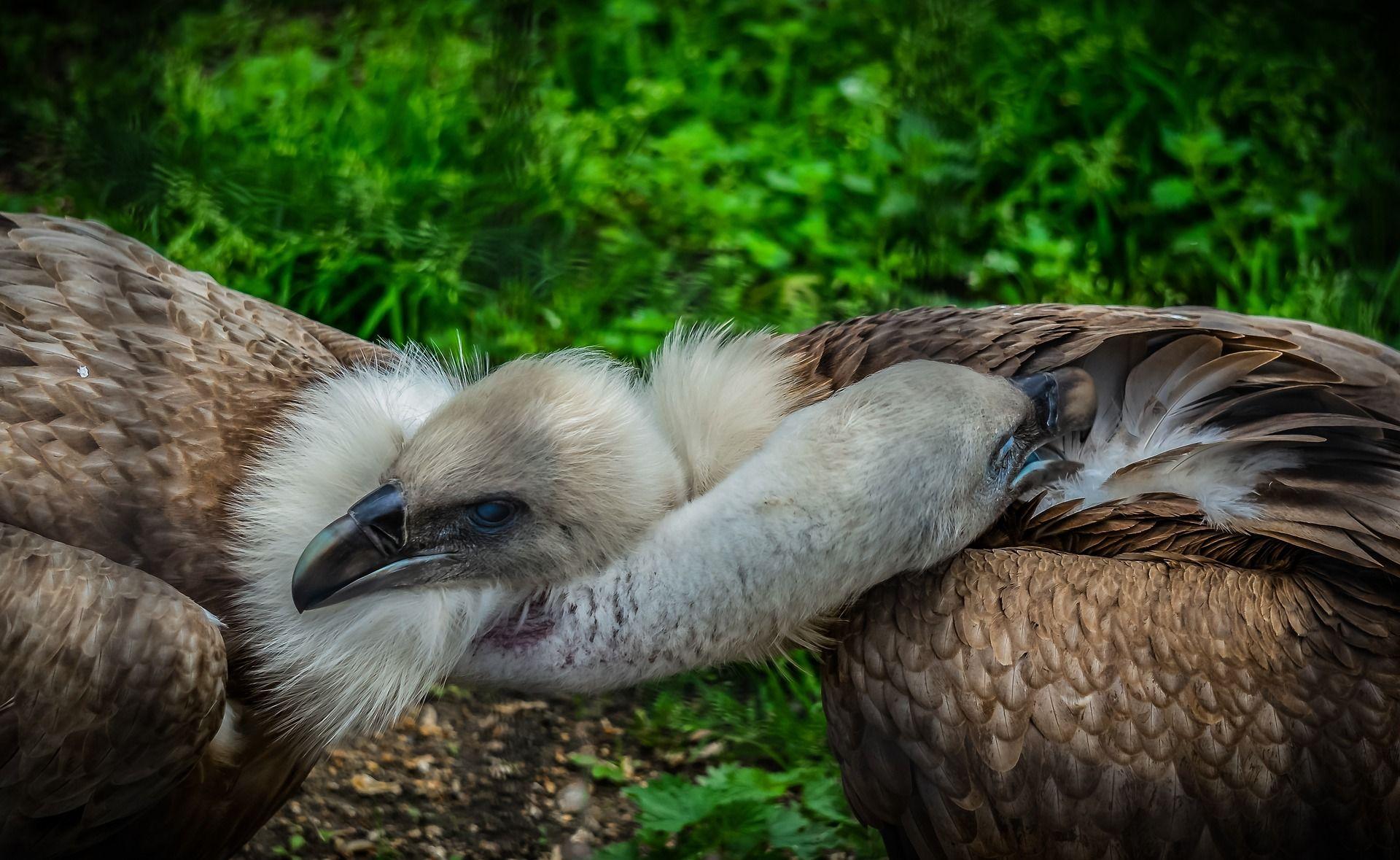 Скачать фото грифа – птицы