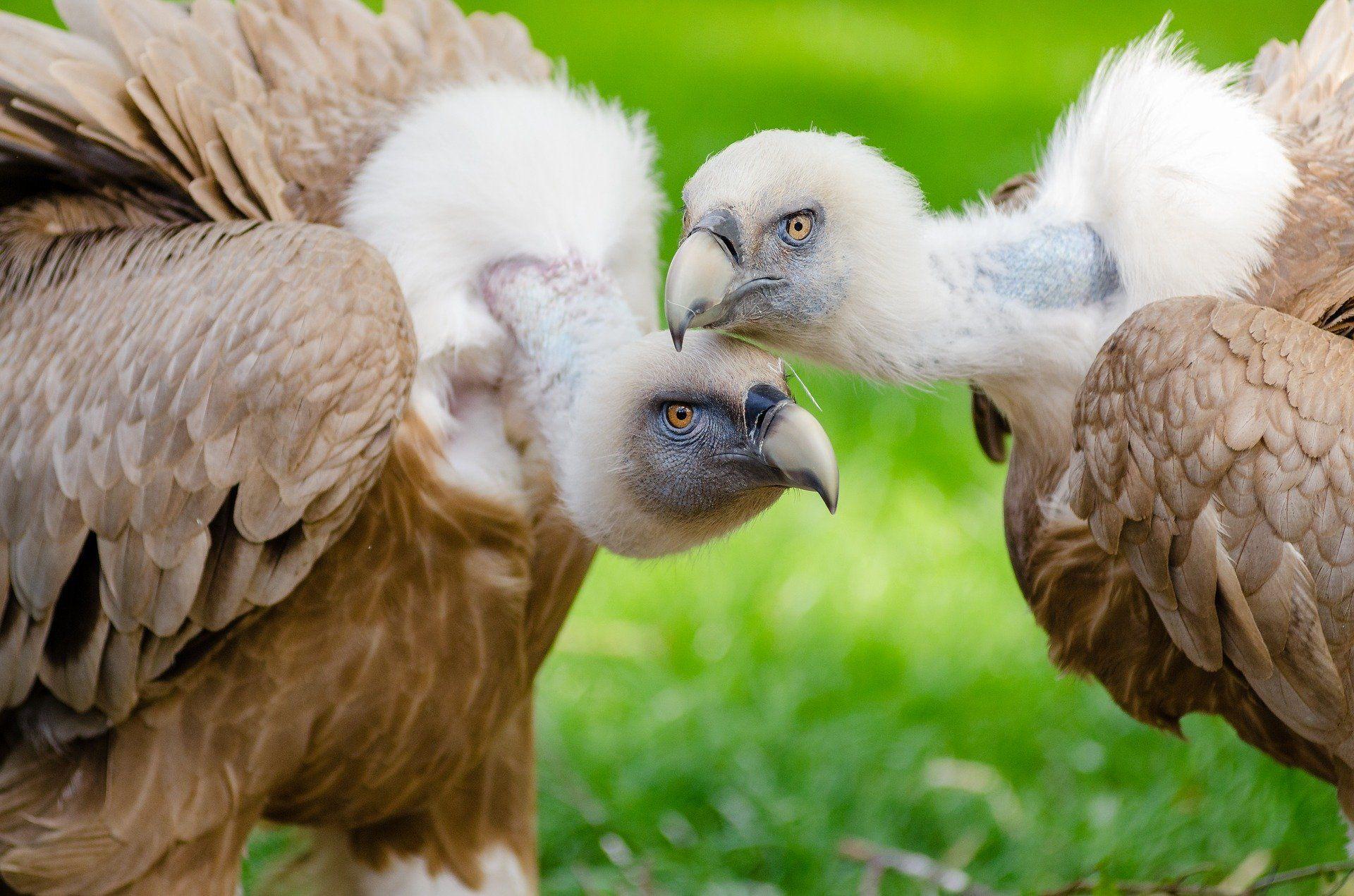 Фото птицы гриф