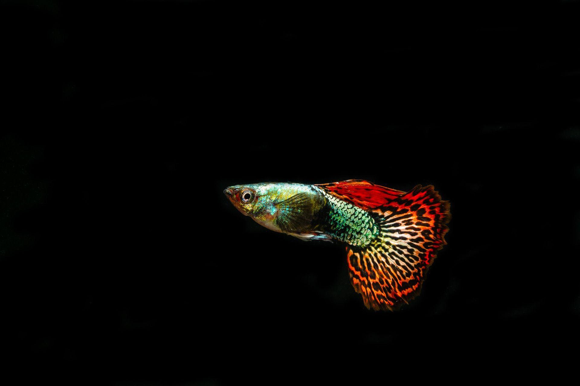 Фото рыбки гуппи