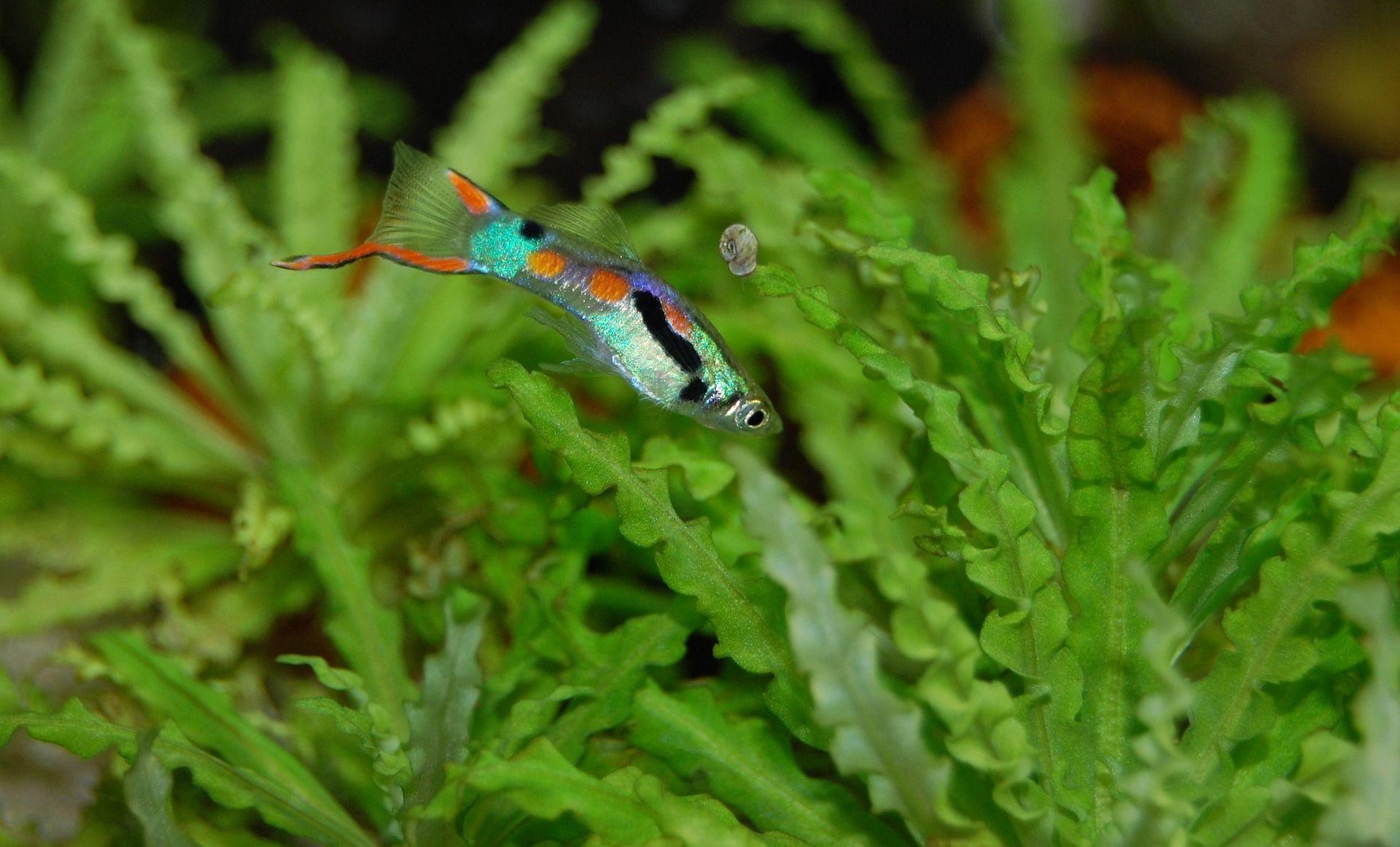 Смотреть онлайн рыбок гуппи