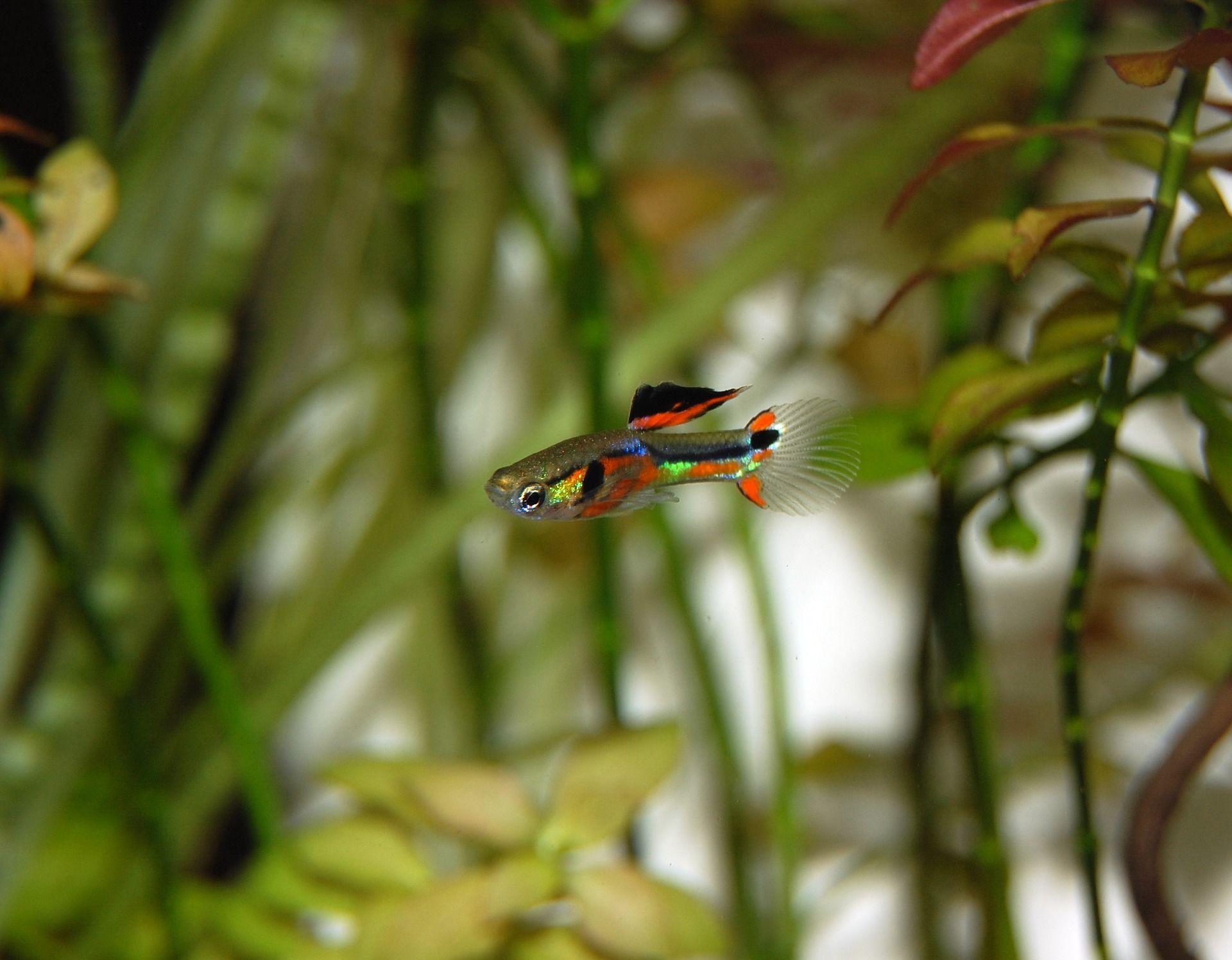 Фото веселых рыбок гуппи