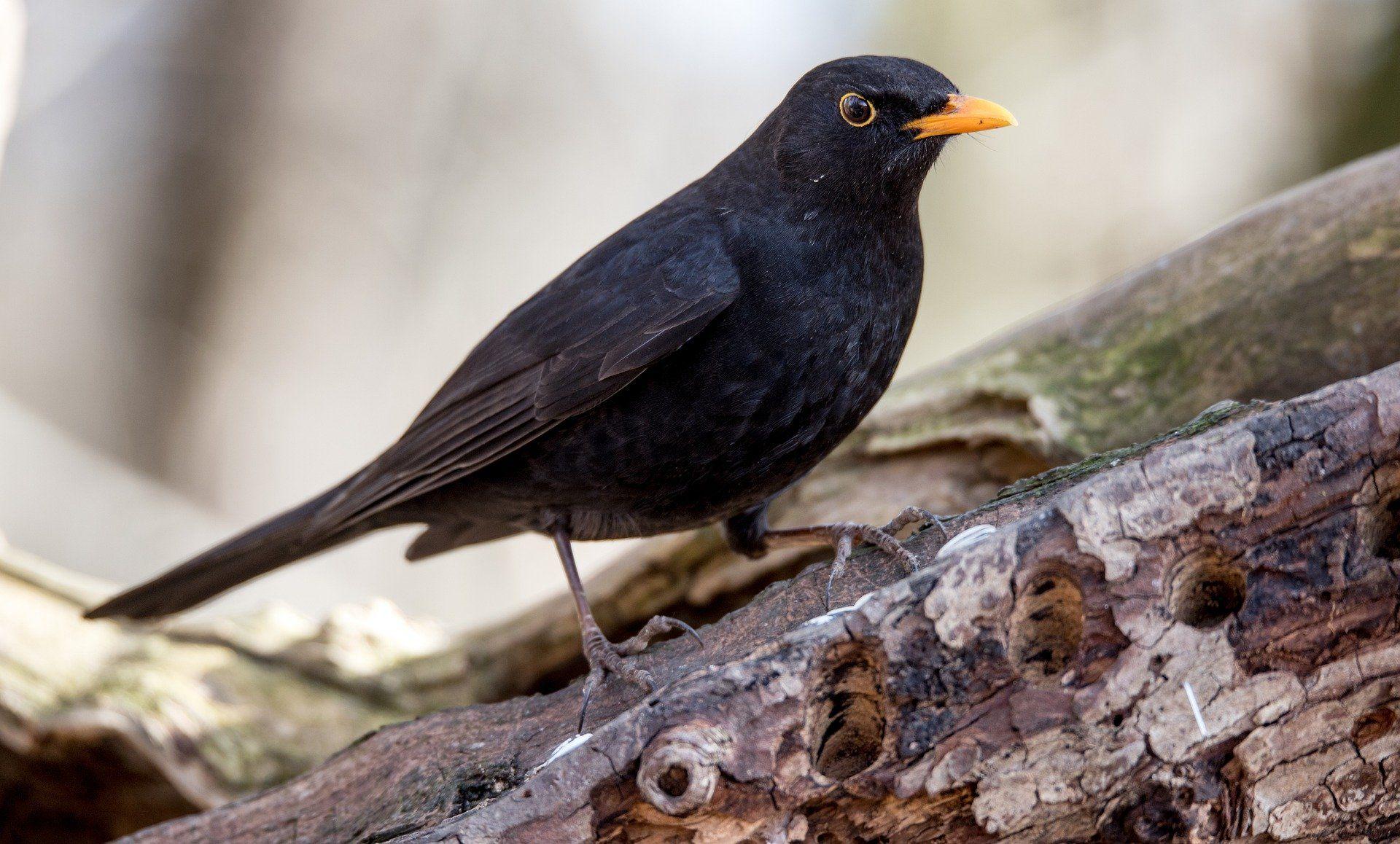 Фото животного птицы дрозда