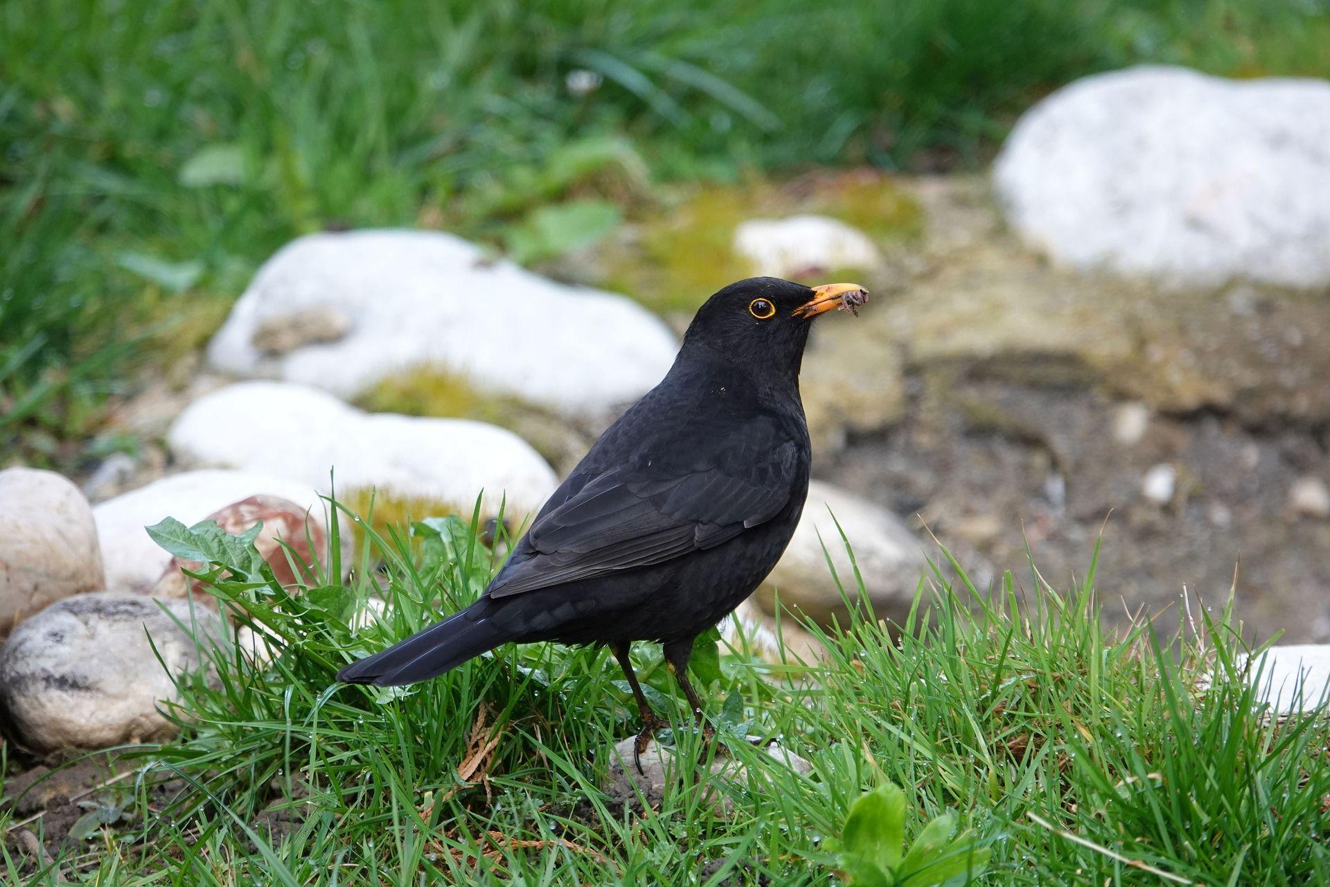 Фото черного дрозда бесплатно