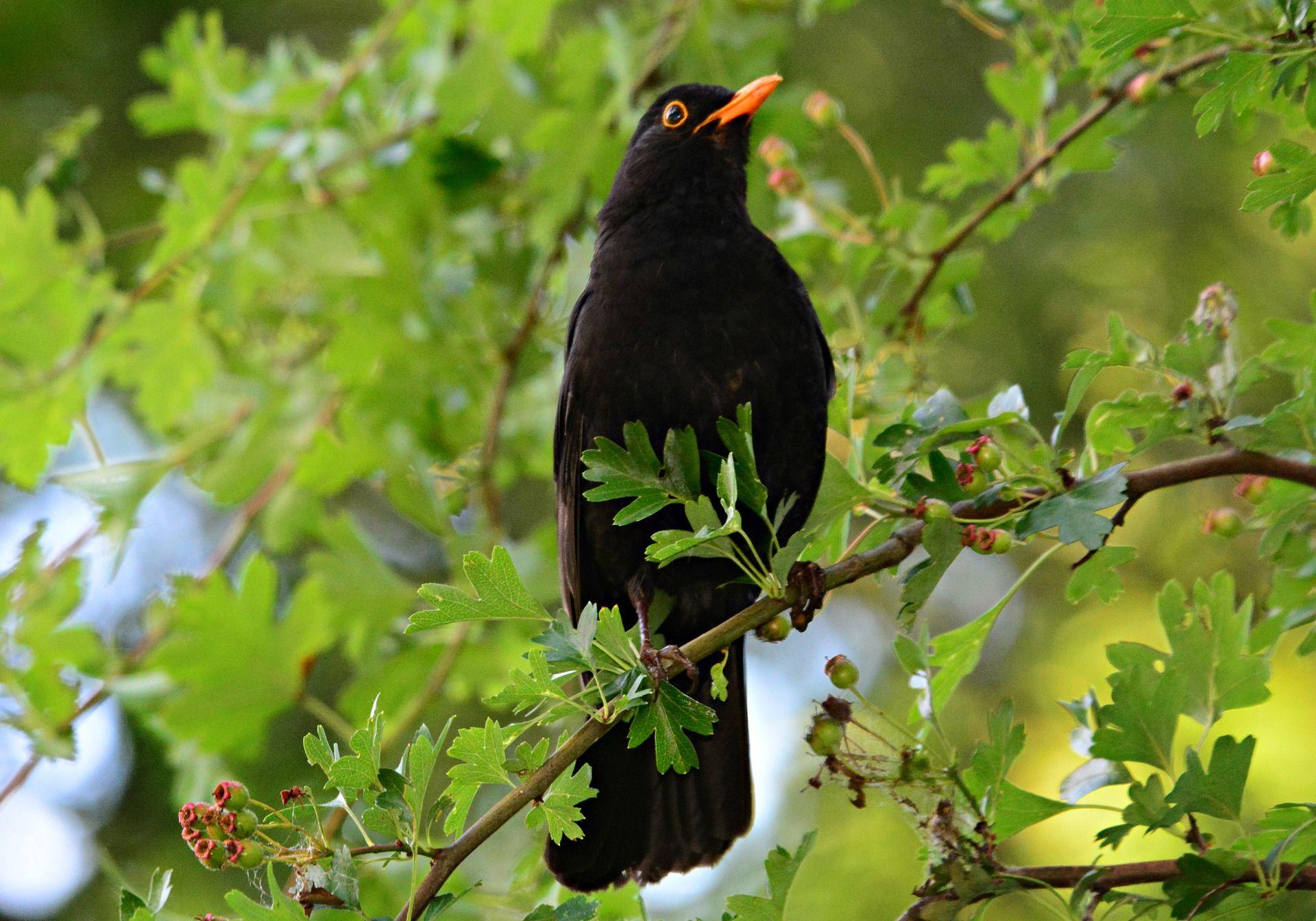 Онлайн просмотр фото черного дрозда