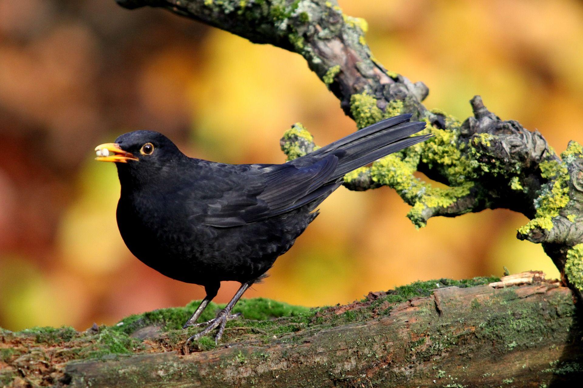 Фото черного дрозда