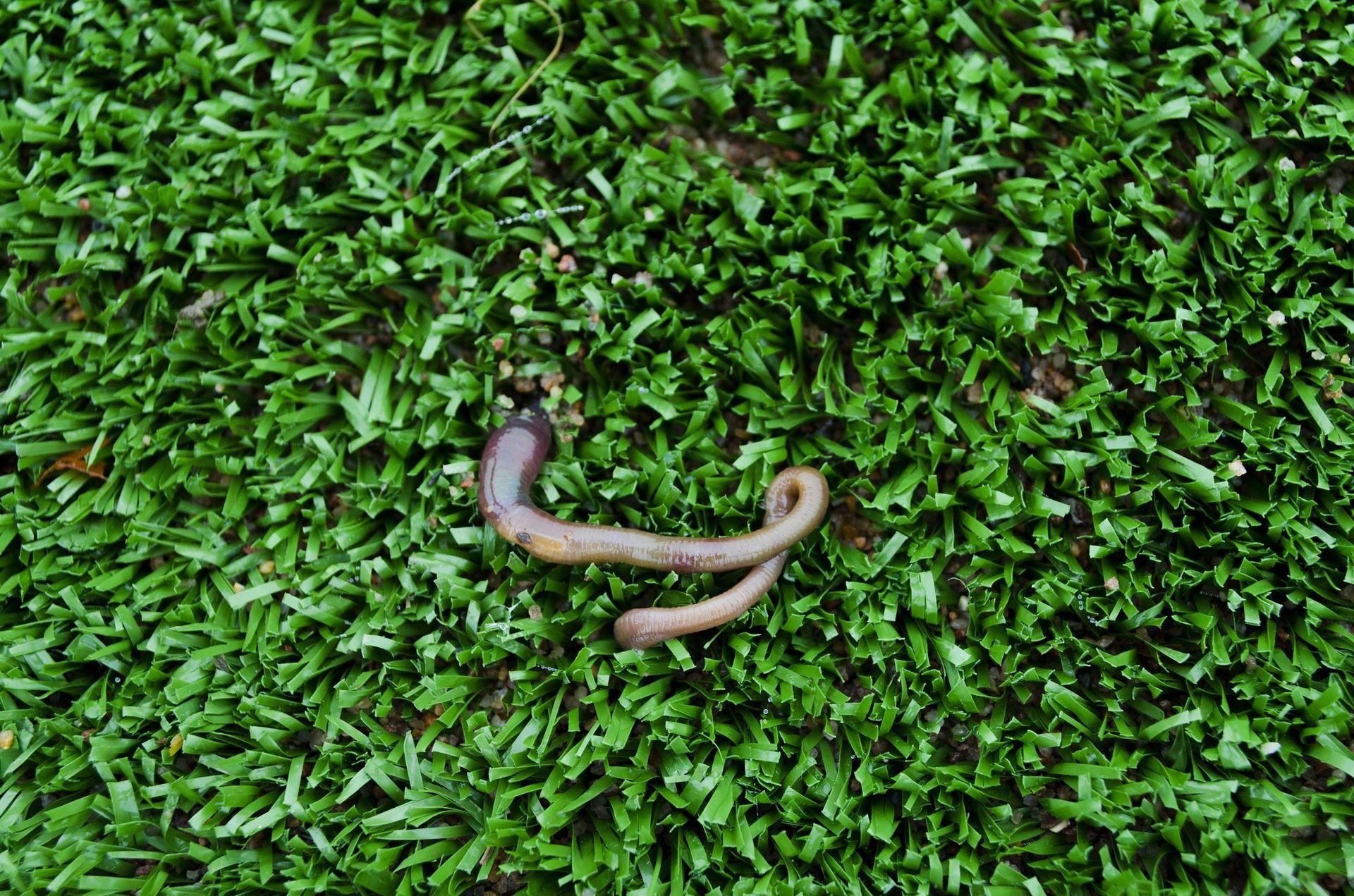 Фото большого дождевого червя