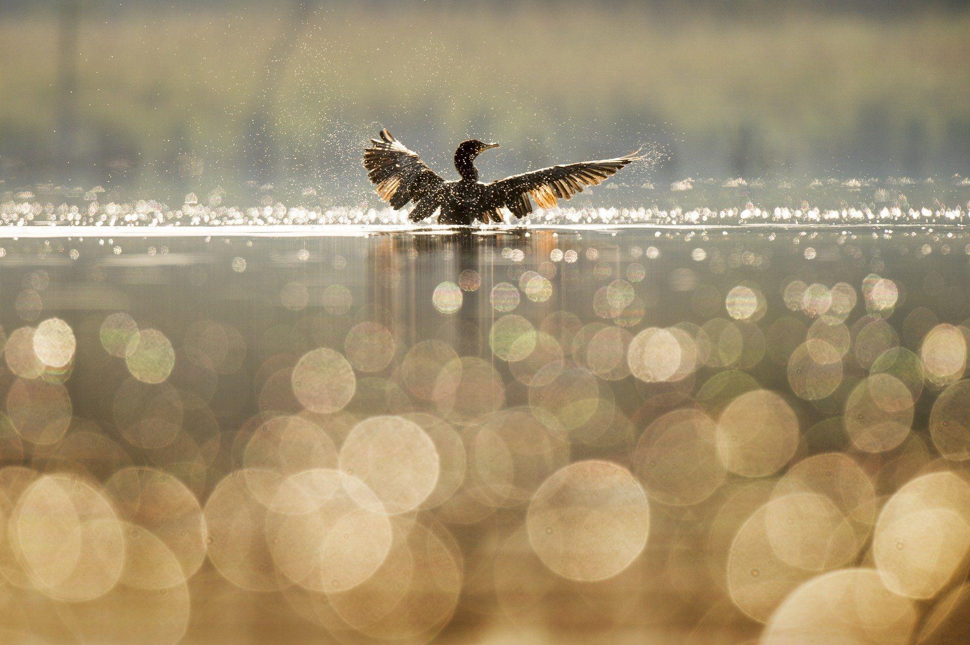 Скачать лучшее фото пестрой утки на воде