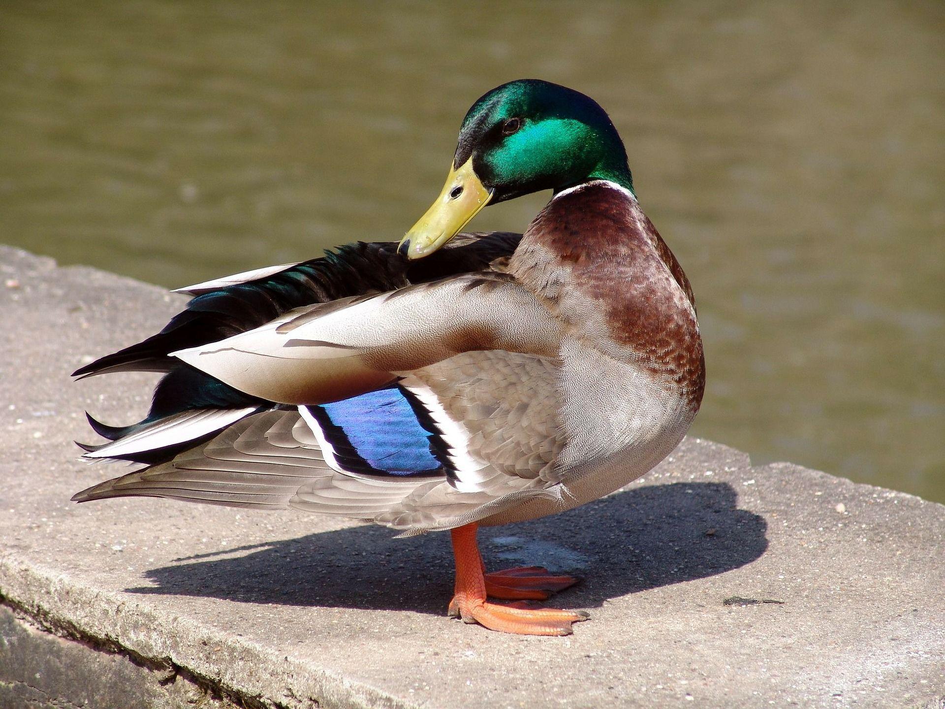 Лучшее фото утки в водоеме отличного качества