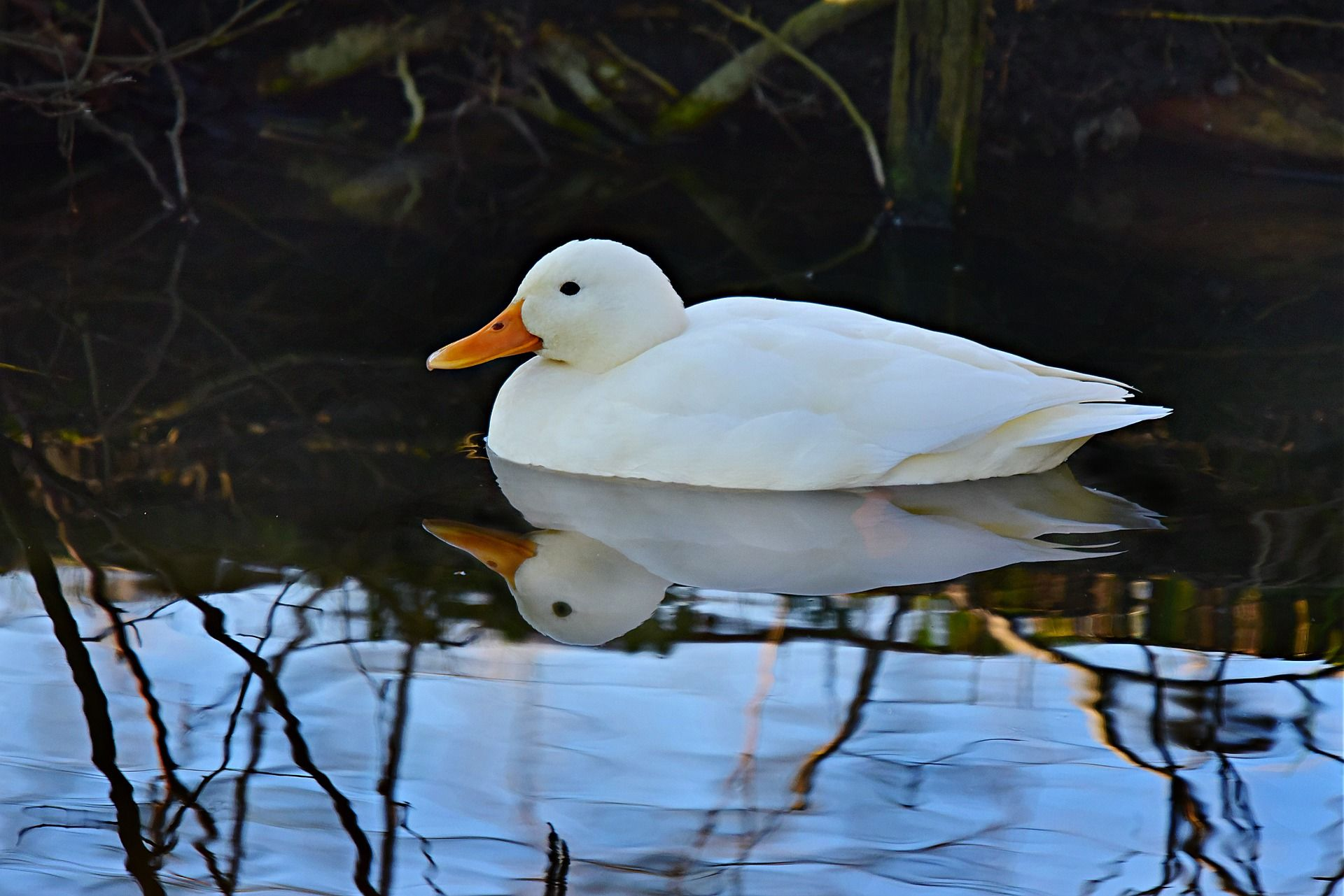 Скачать бесплатно фото белая утка плавает