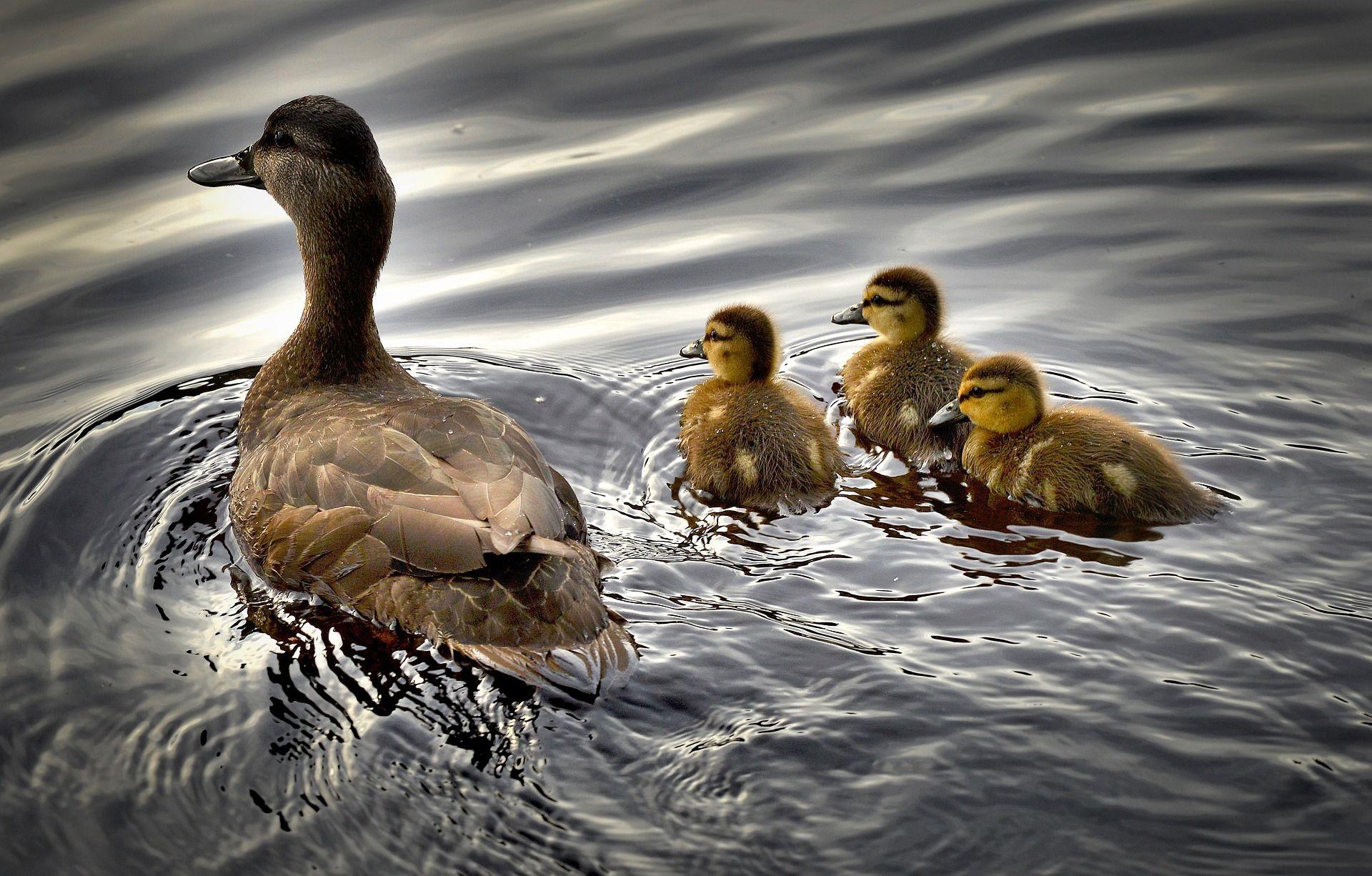 Смотреть лучшее фото утка и ее детеныши плавают в водоеме