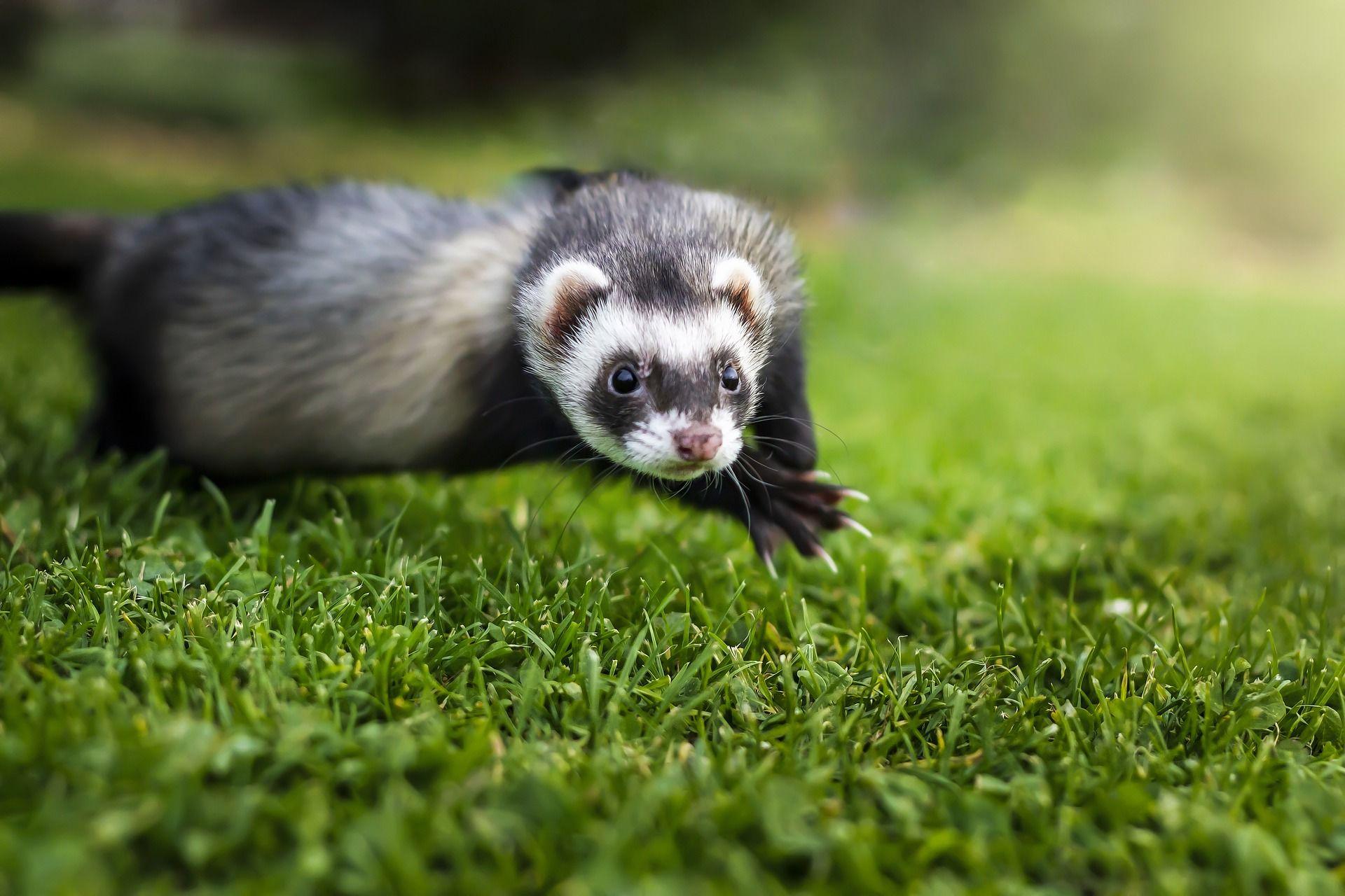 Скачать онлайн бесплатно красивую картинку хорька в траве