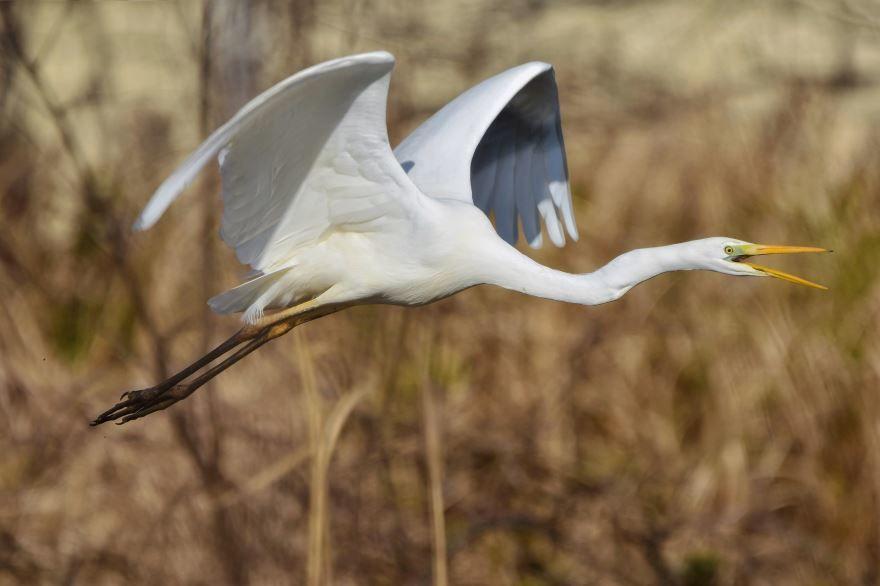 Интересное фото белой цапли на природе