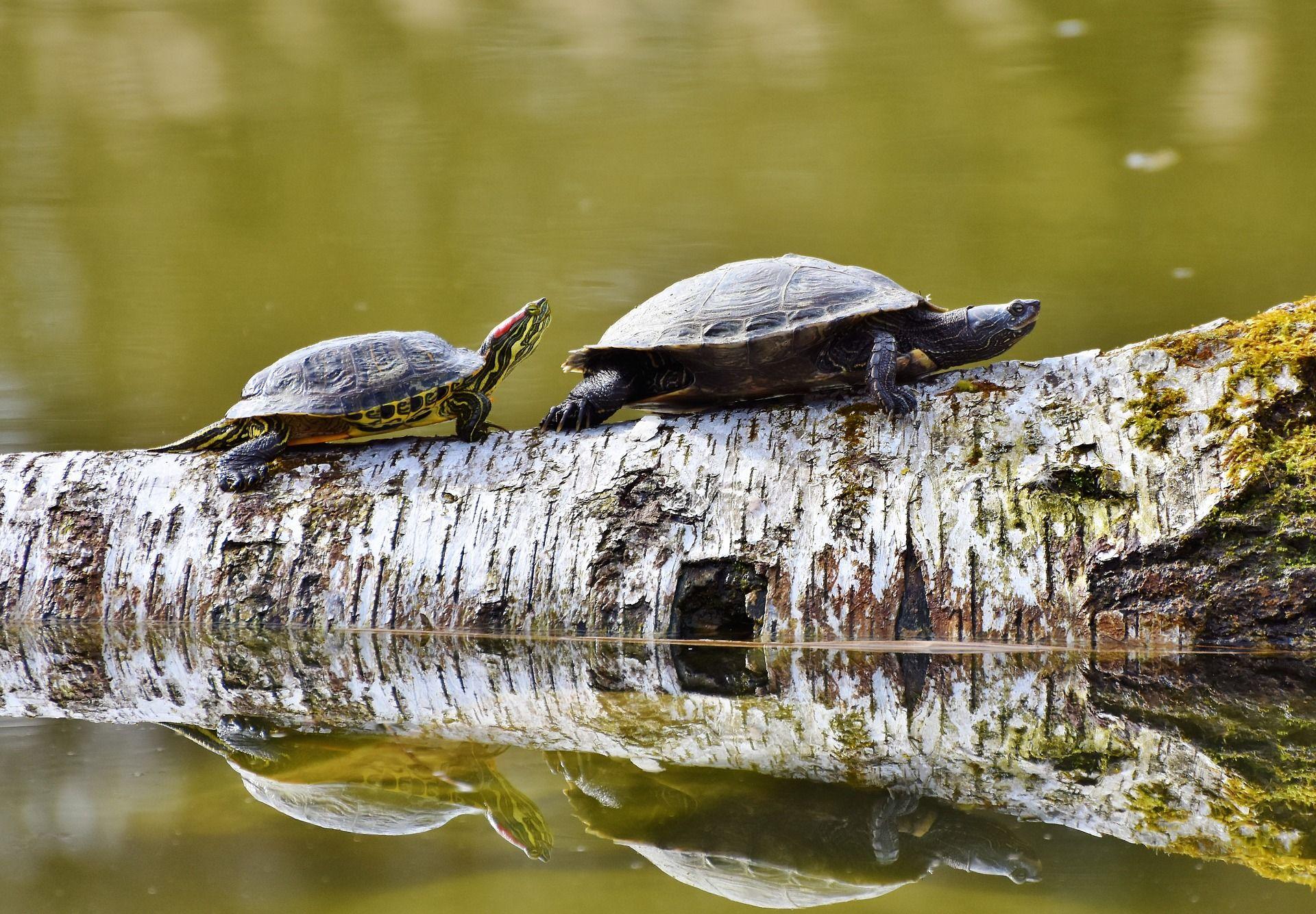 Скачать бесплатно красивую картинку черепахи в домашних условиях
