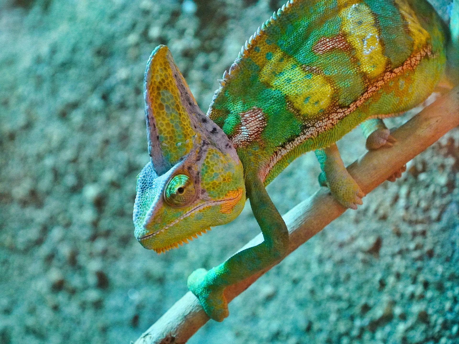 Красивое фото необычного хамелиона