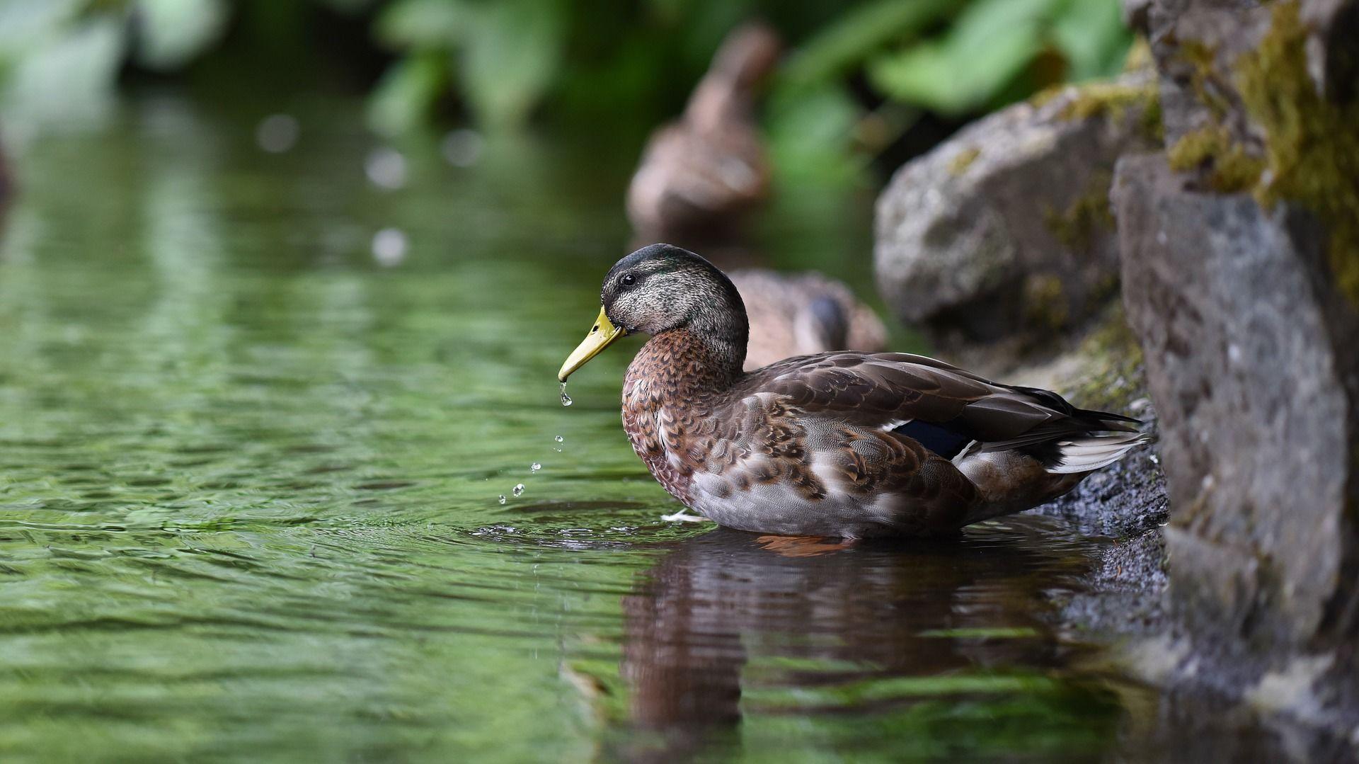 Скачать онлайн бесплатно красивую картинку домашней утки