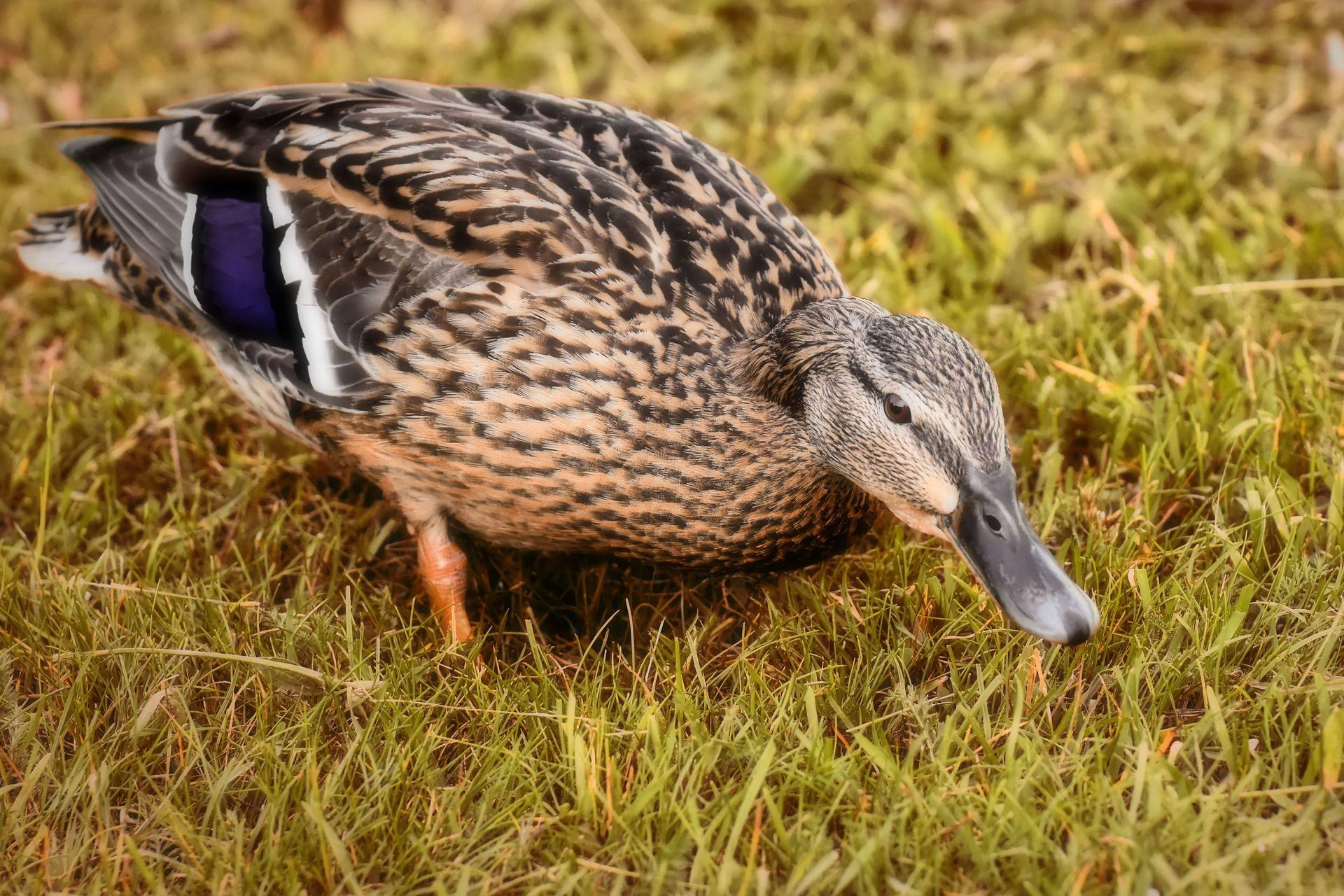 Смотреть красивое фото домашней утки на природе