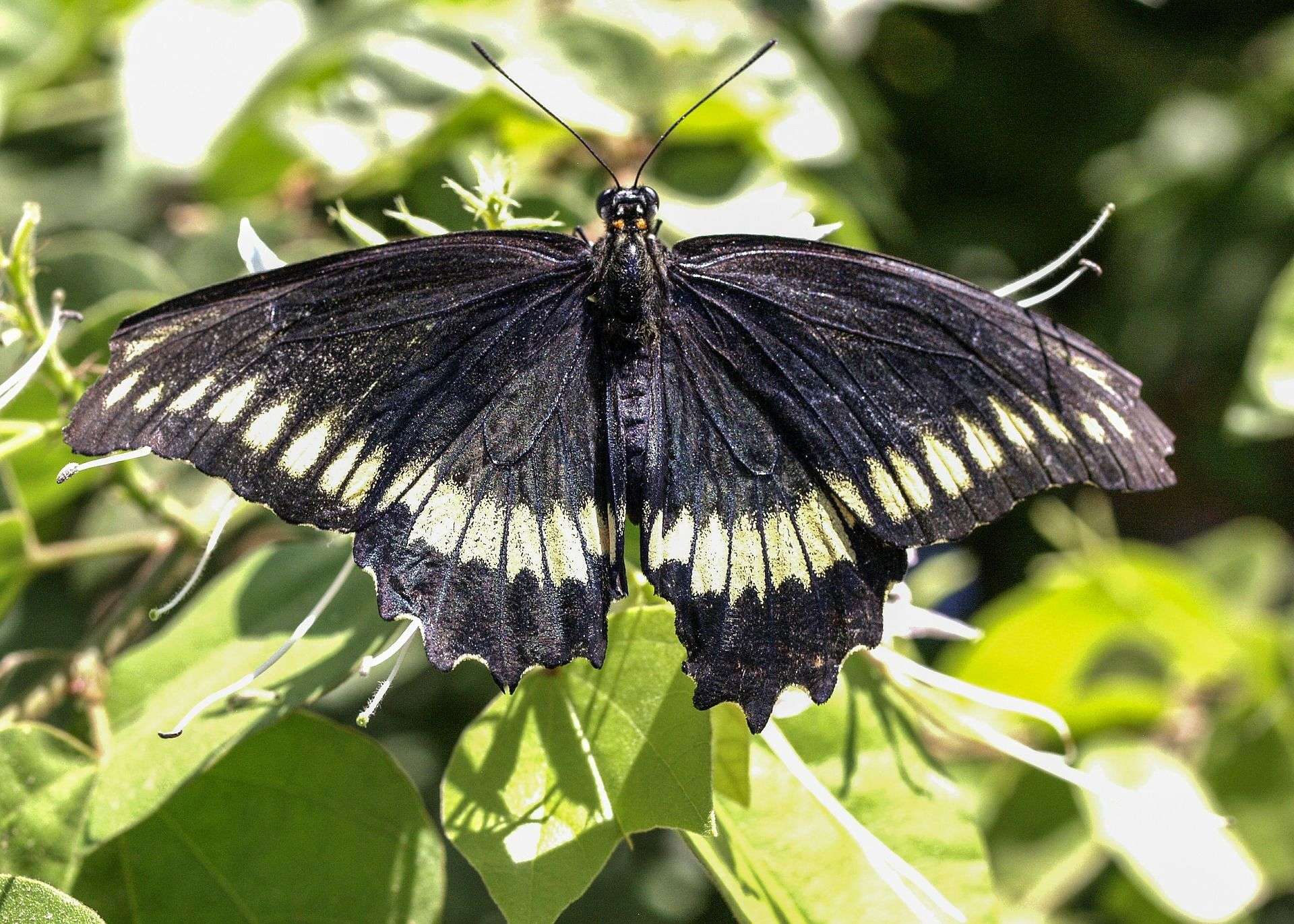 Фото черной бабочки с пятнами онлайн