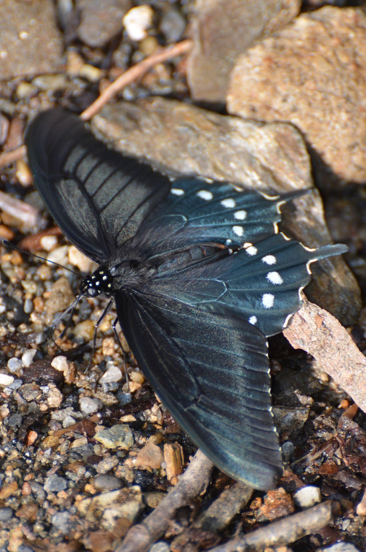 Скачать фотографию черной бабочки в хорошем качестве