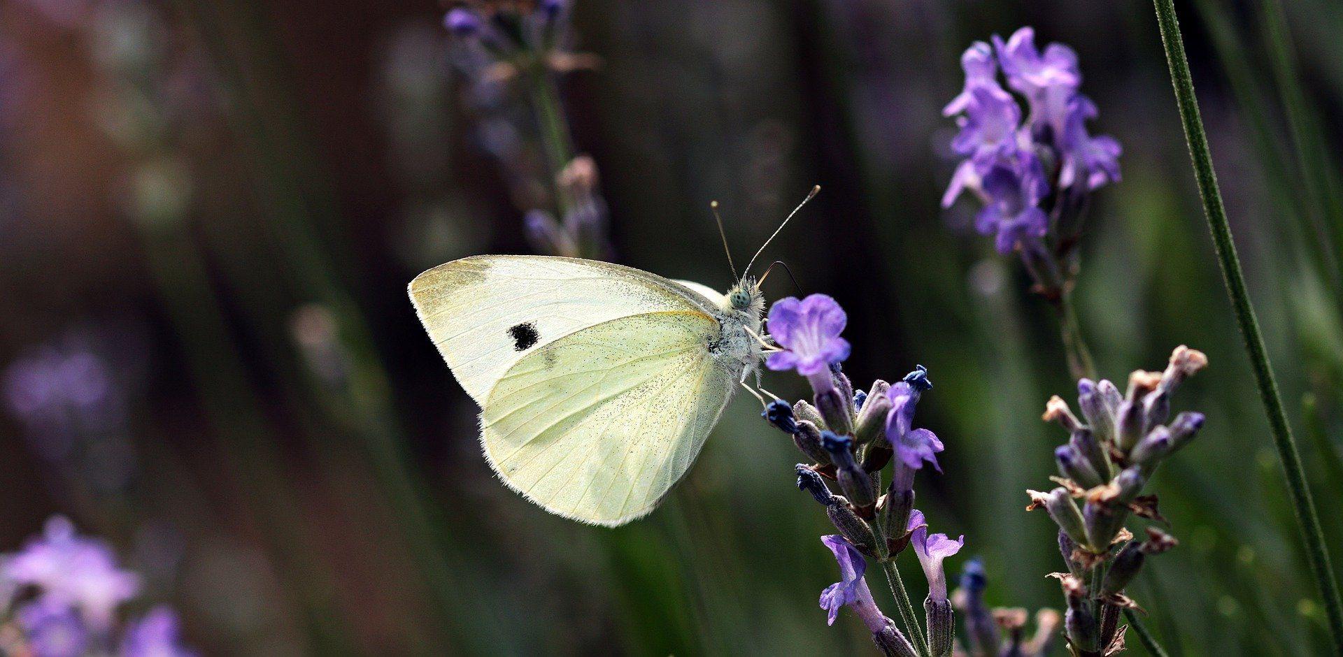 Фото бабочки с белыми крыльями