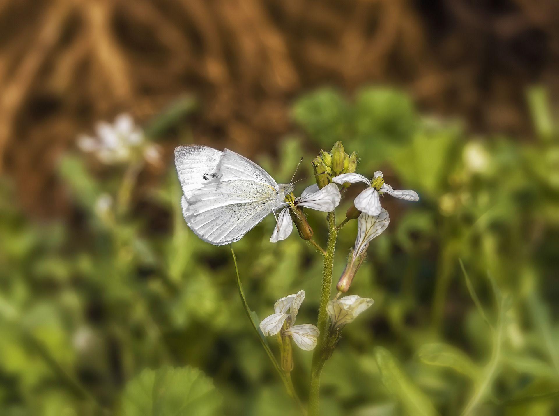 Картинка полностью белой бабочки
