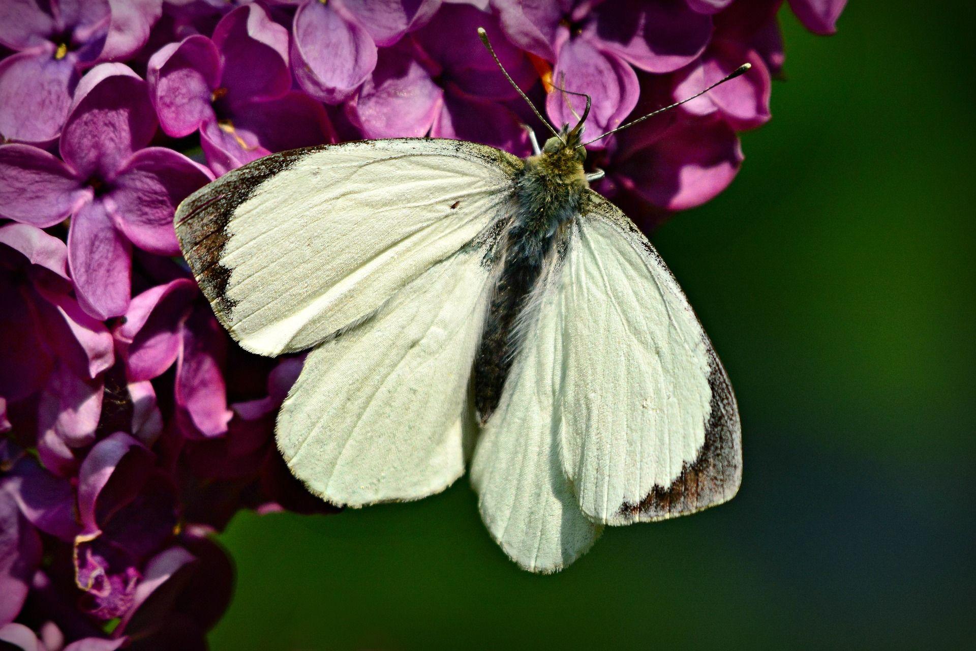 Фото бабочки белого цвета