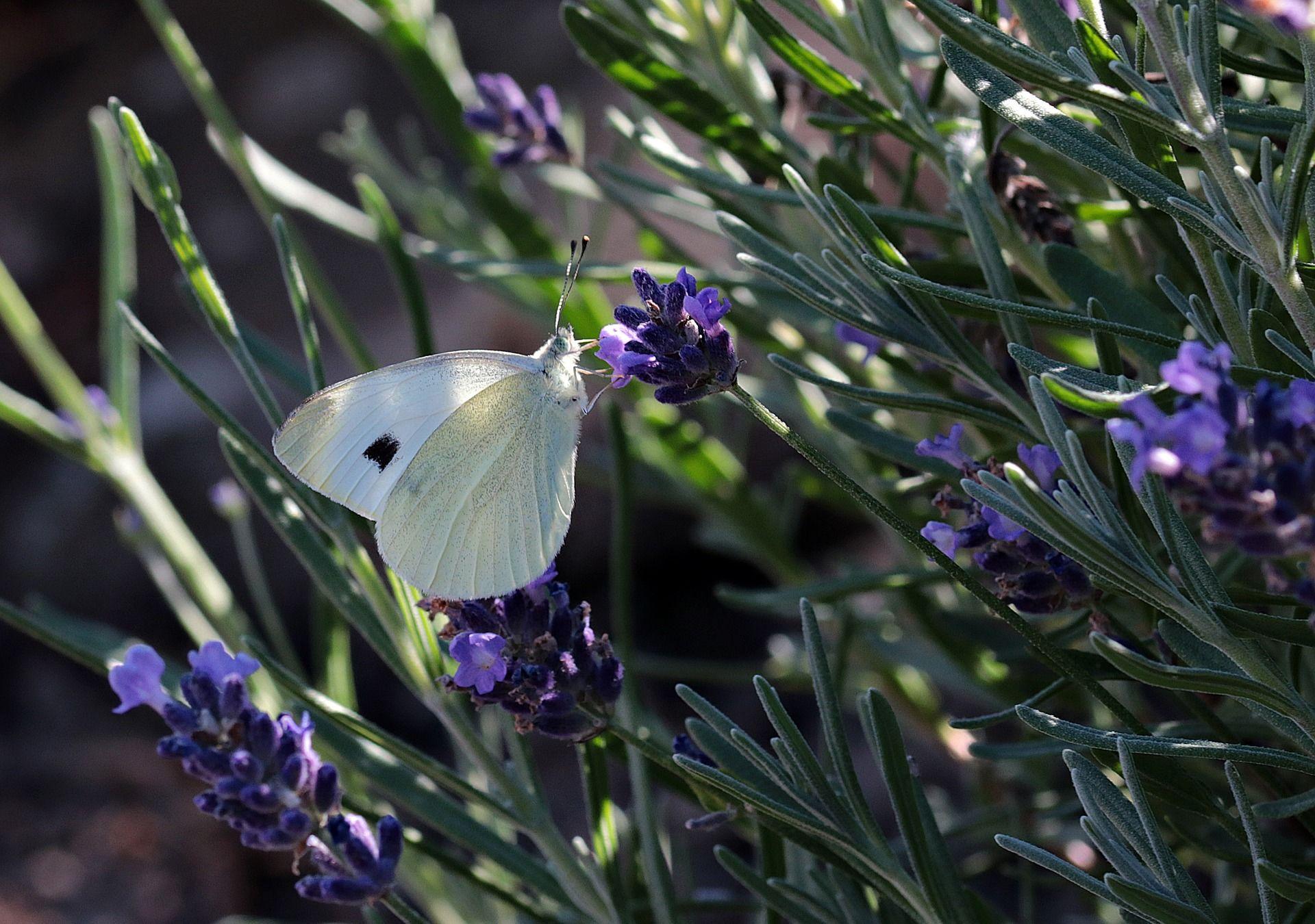 Картинка большой белой бабочки
