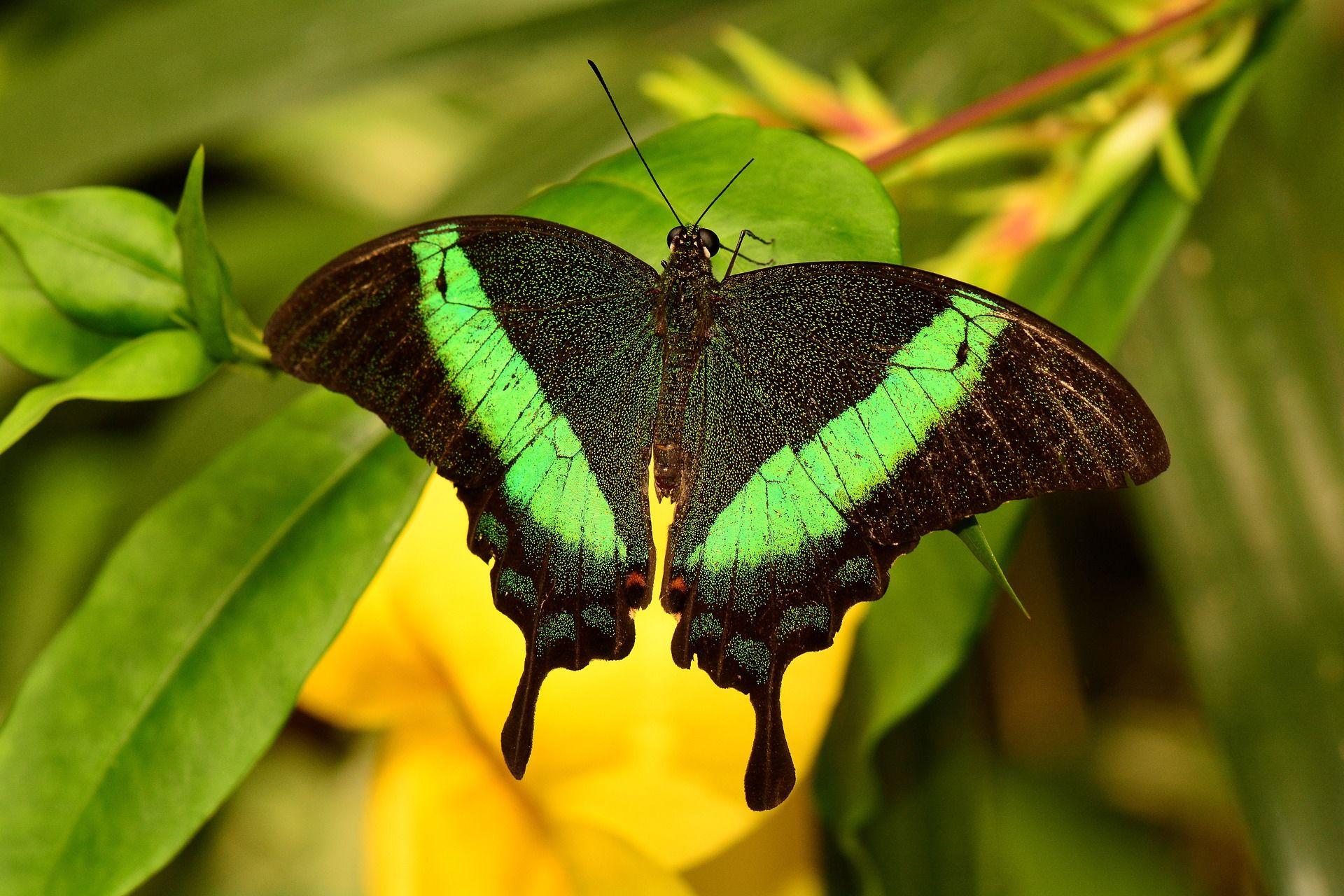 Скачать красивые фото с бабочкой махаон