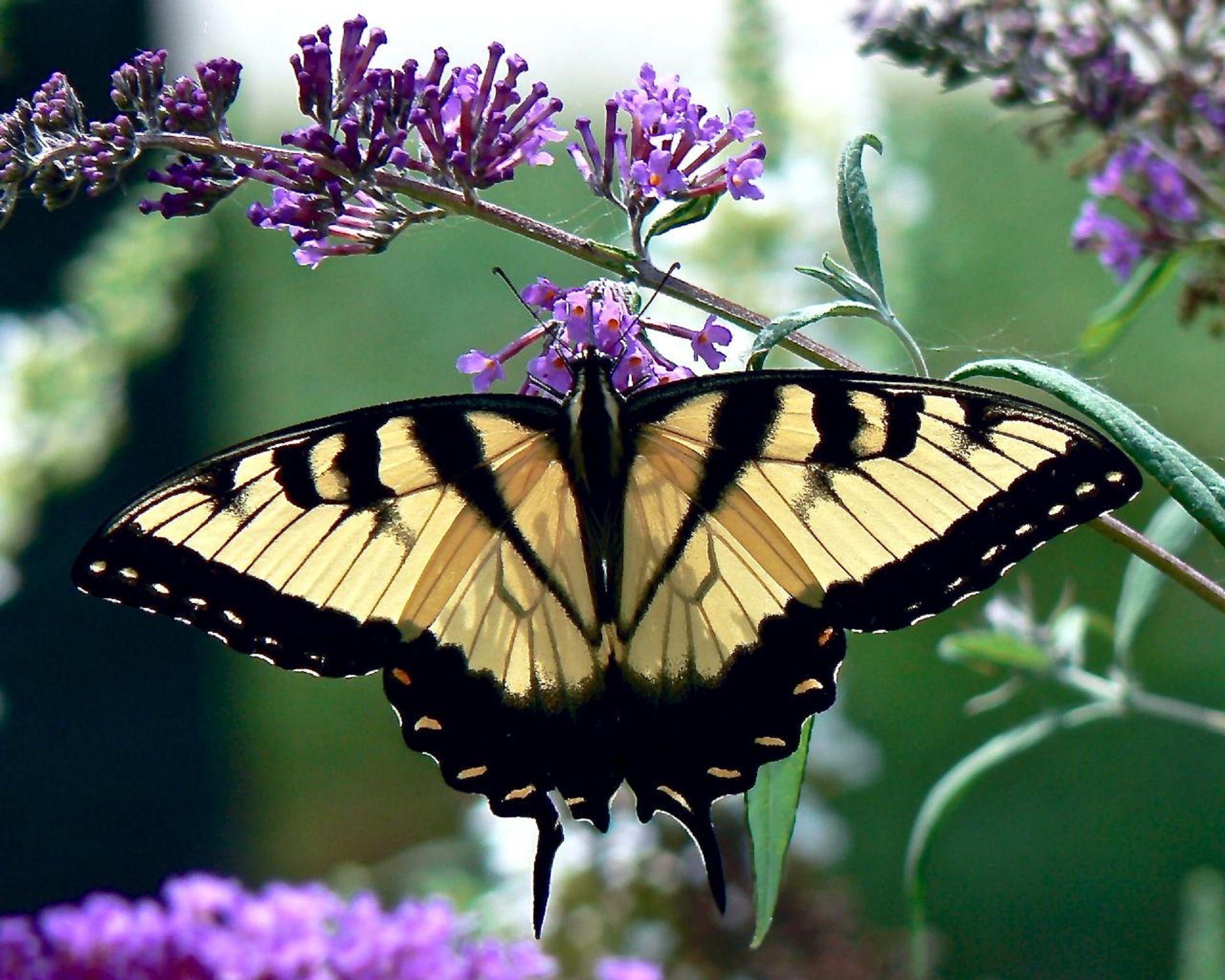 Скачать фото бабочки махаона бесплатно